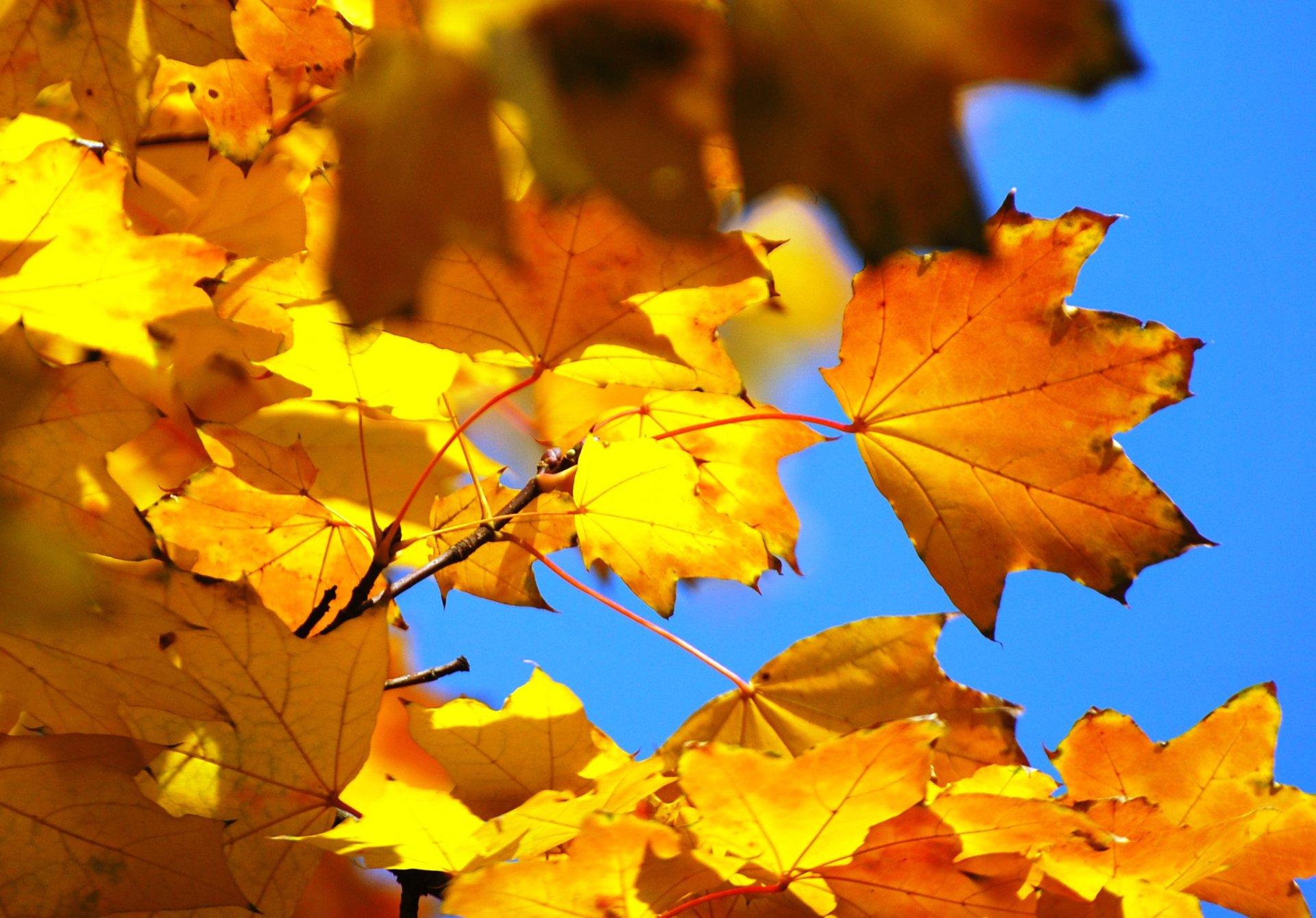 осень картинки кленовые листья картинки приворотный