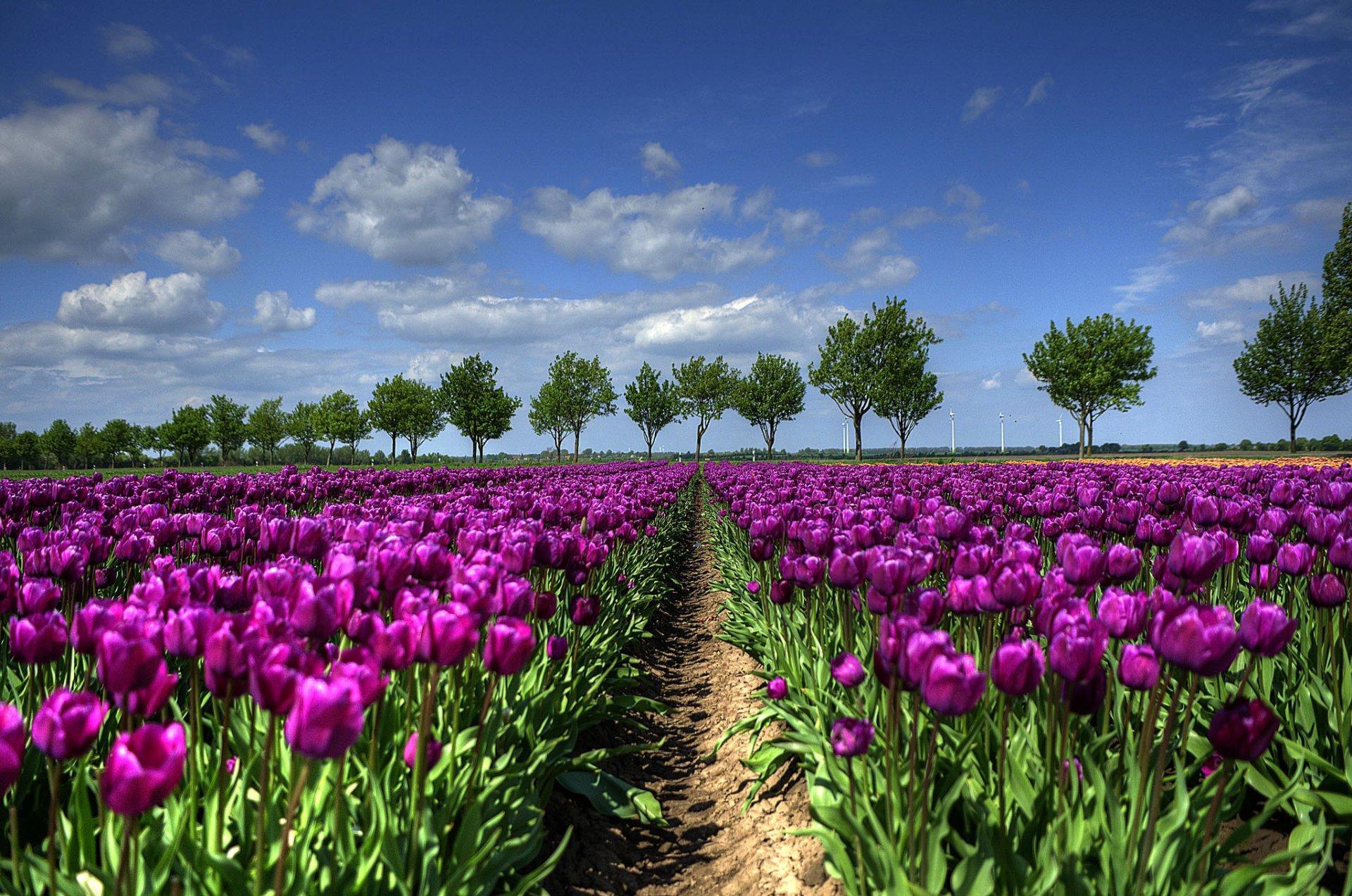 поляна цветы тюльпаны небо деревья бесплатно
