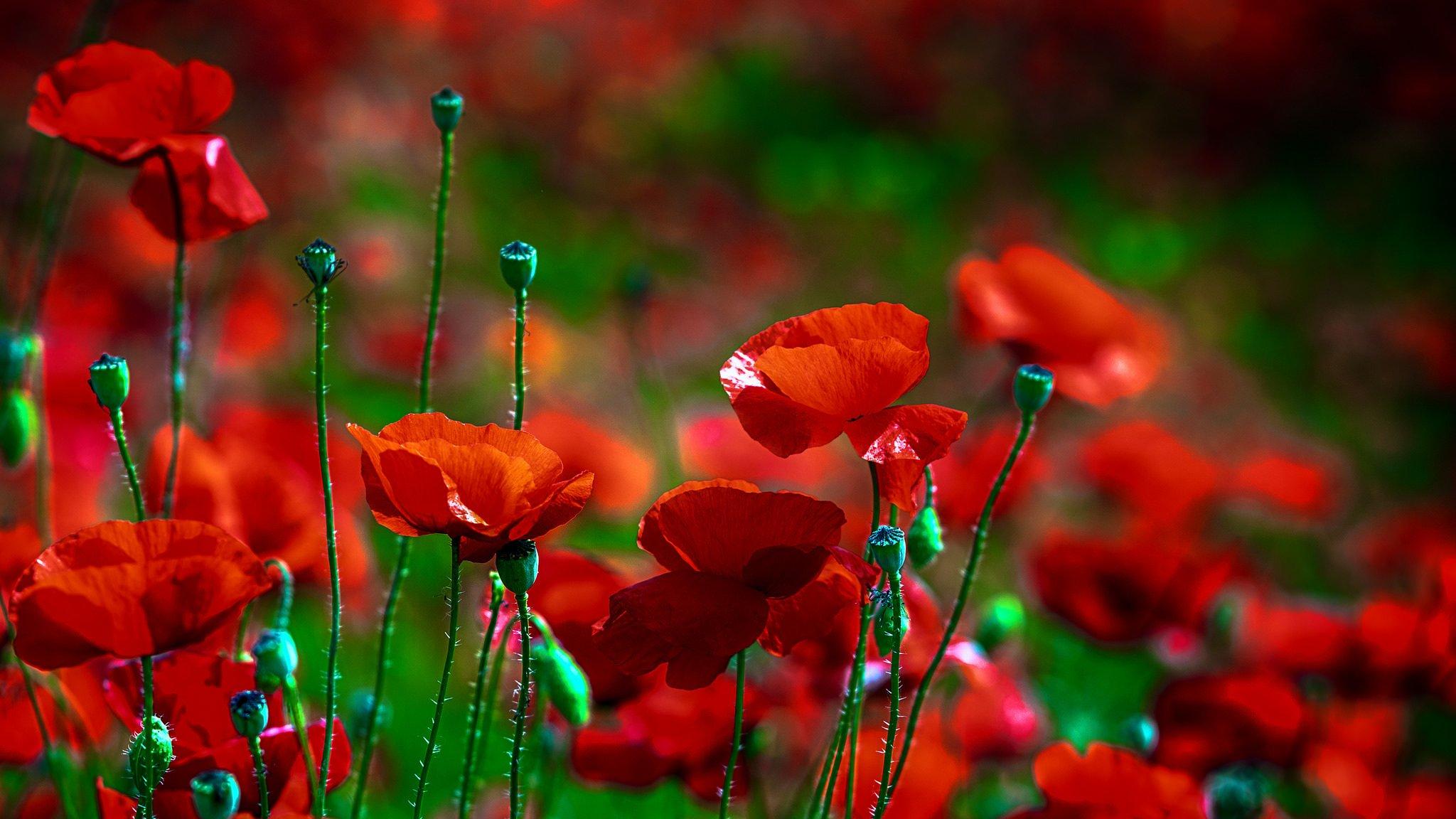 поле маки цветы  № 1877309  скачать