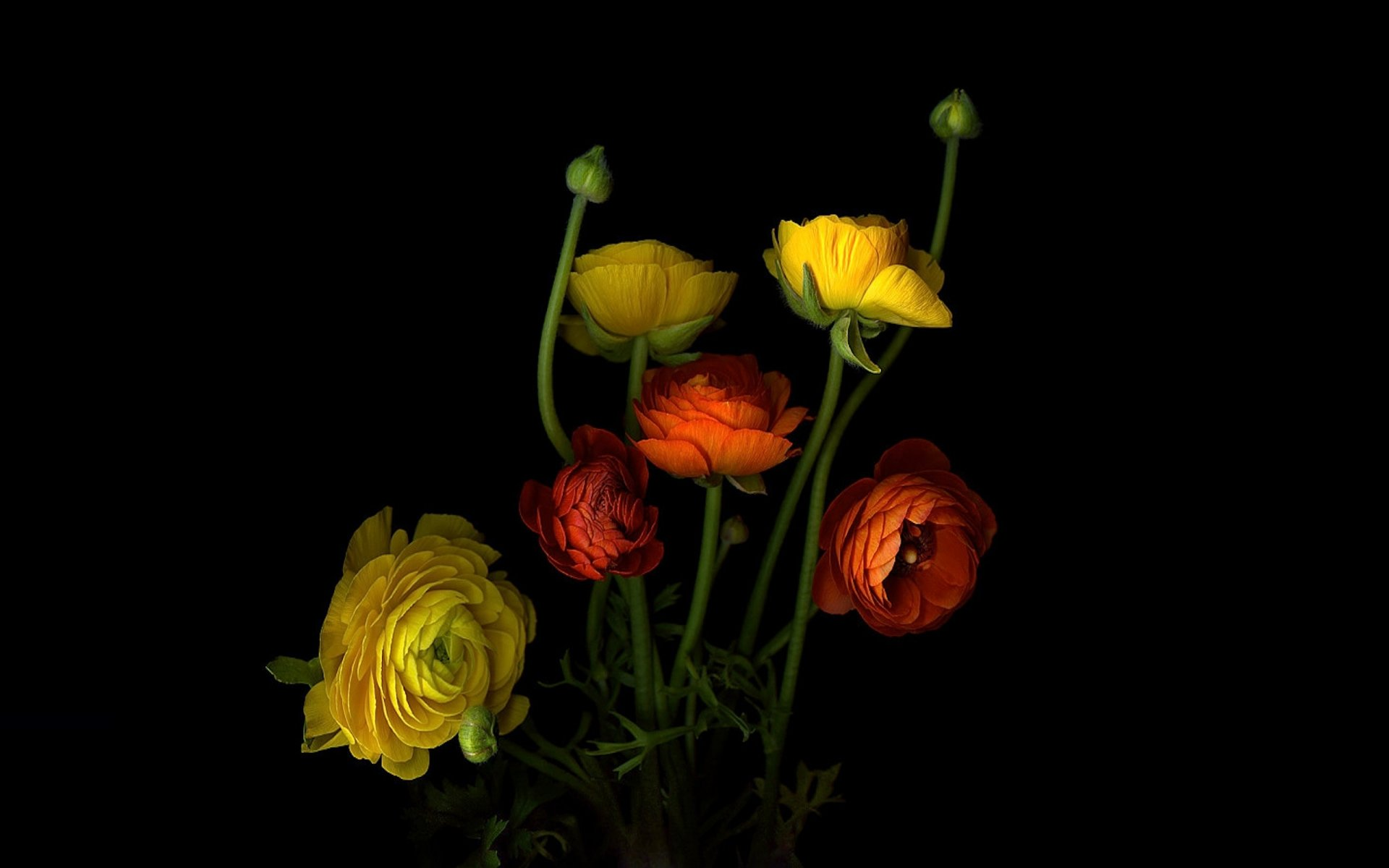 картинка с цветком на черном фоне обоев