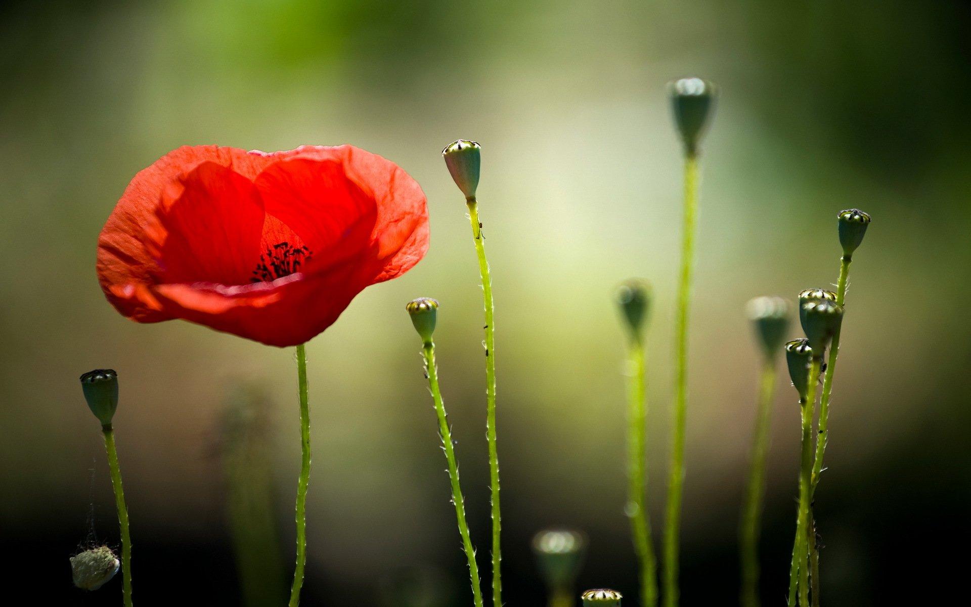 природа красный цветок макро бесплатно