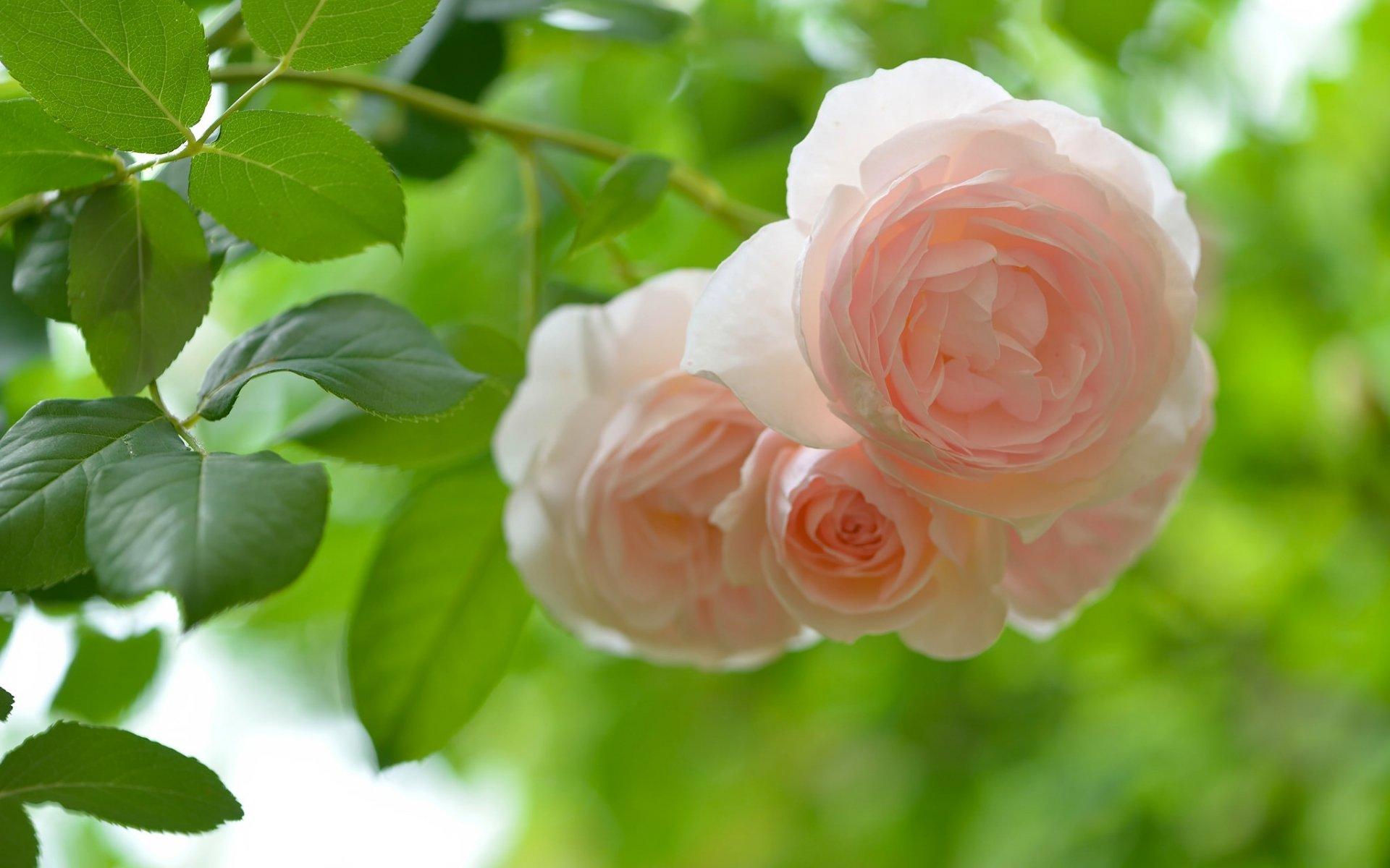 картинки на рабочий стол розы летом актриса