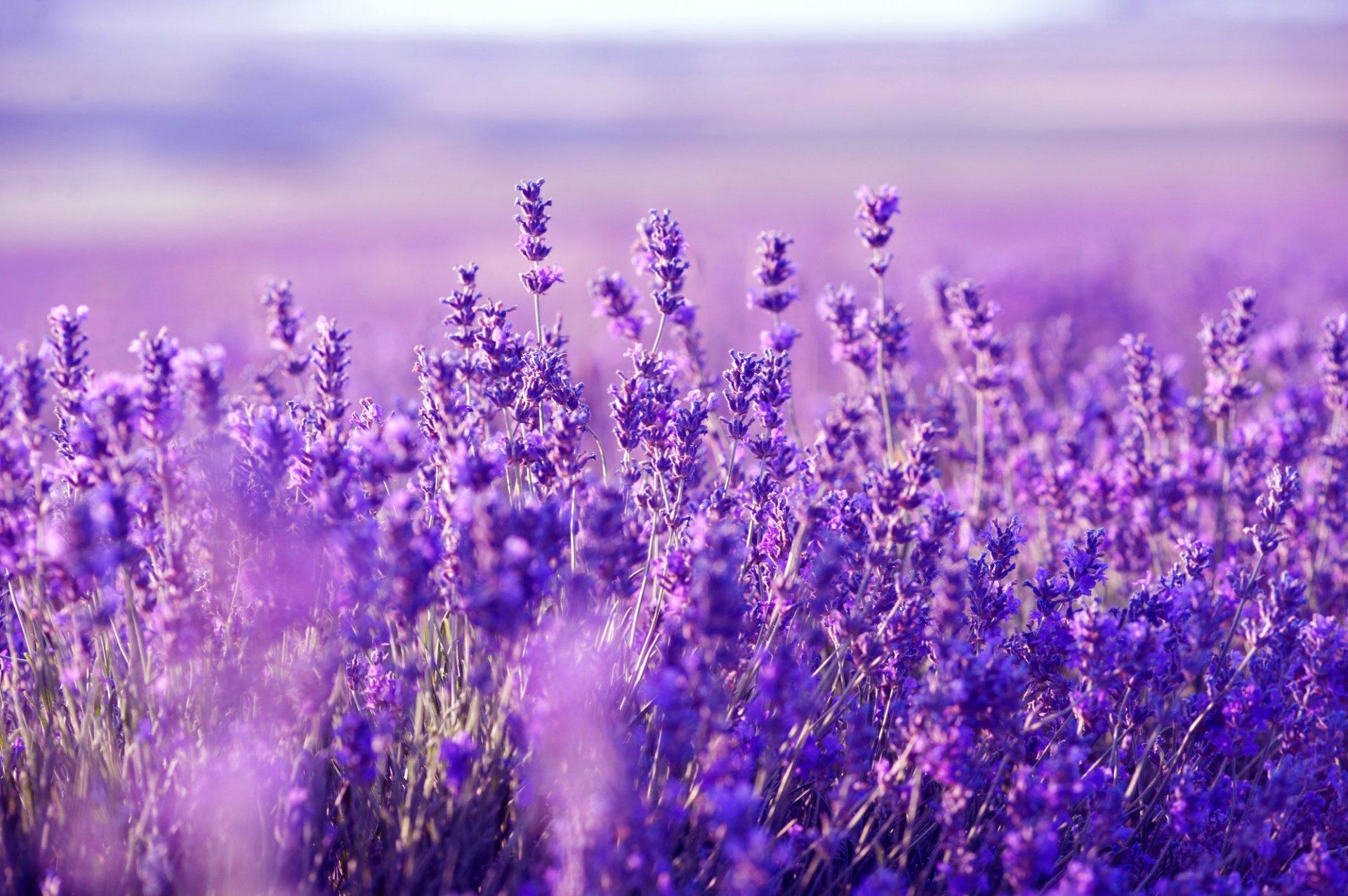 Фото лавандовое поле в высоком разрешении