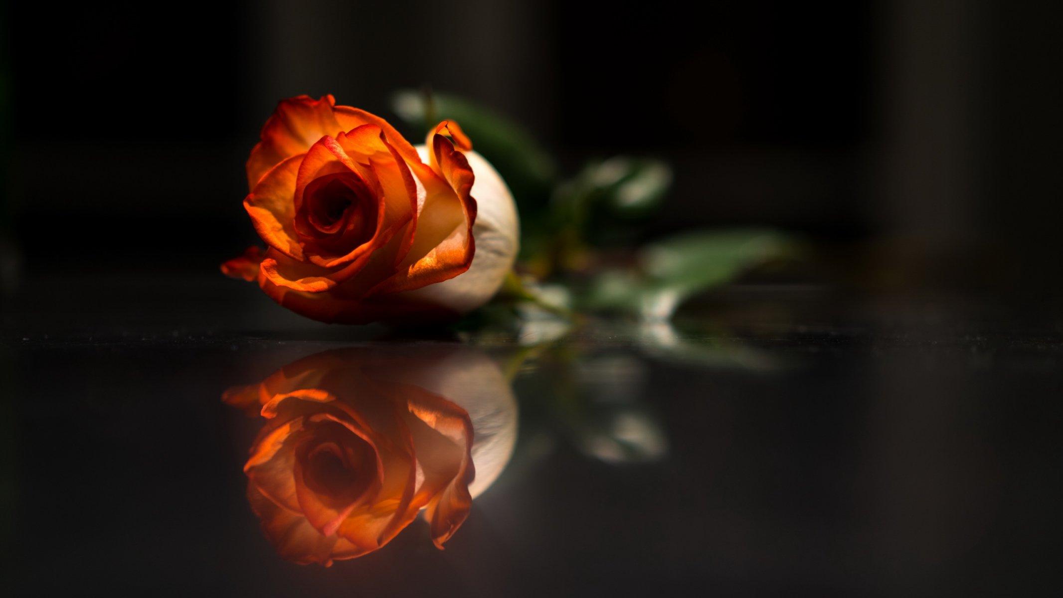 фото роз на темном фоне модели удобны хорошо