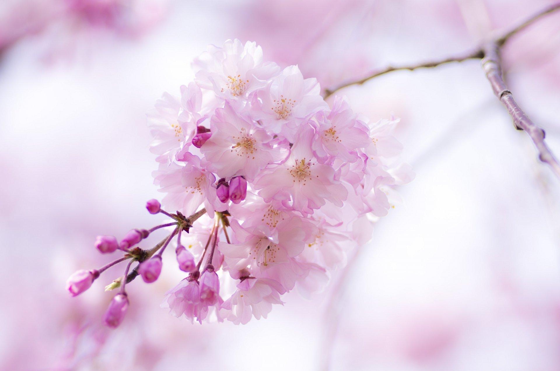 Секс цветы вишни 10 фотография