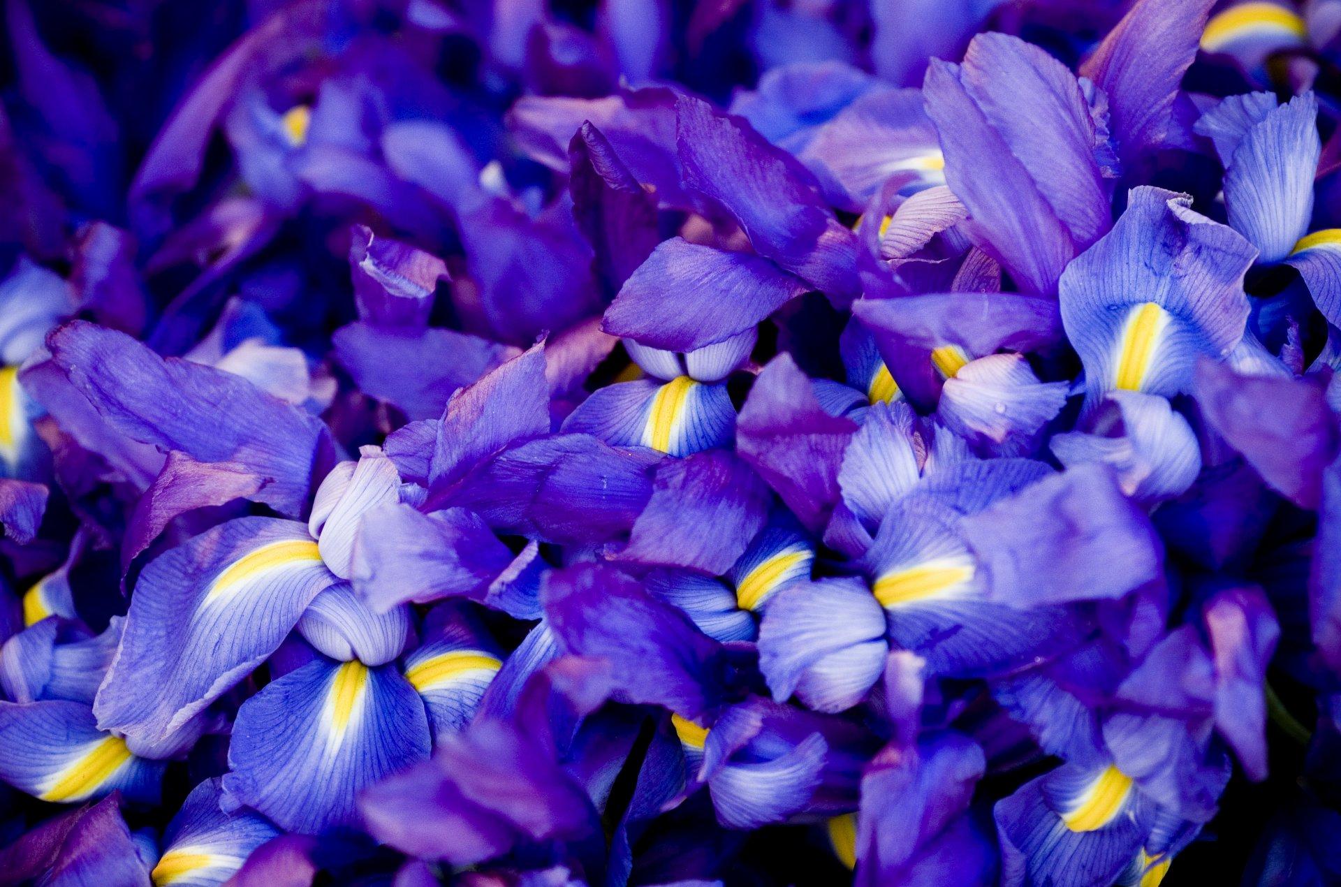 картинки синих и сиреневых цветов вариант суши роллам