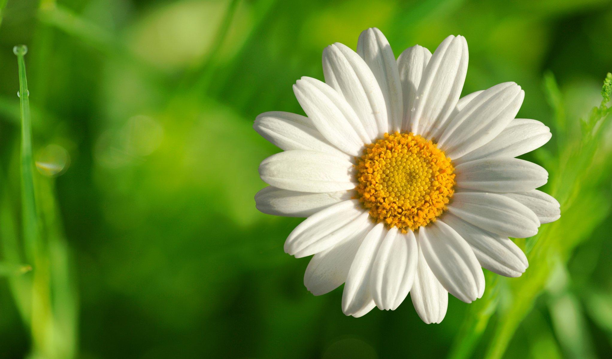 Для, открытка цветы ромашка