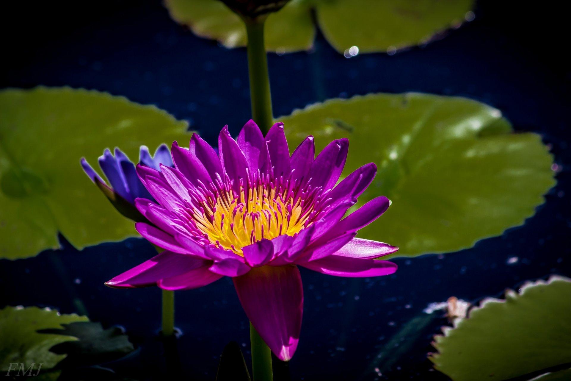 люблю водяные лилии и лотос картинки его