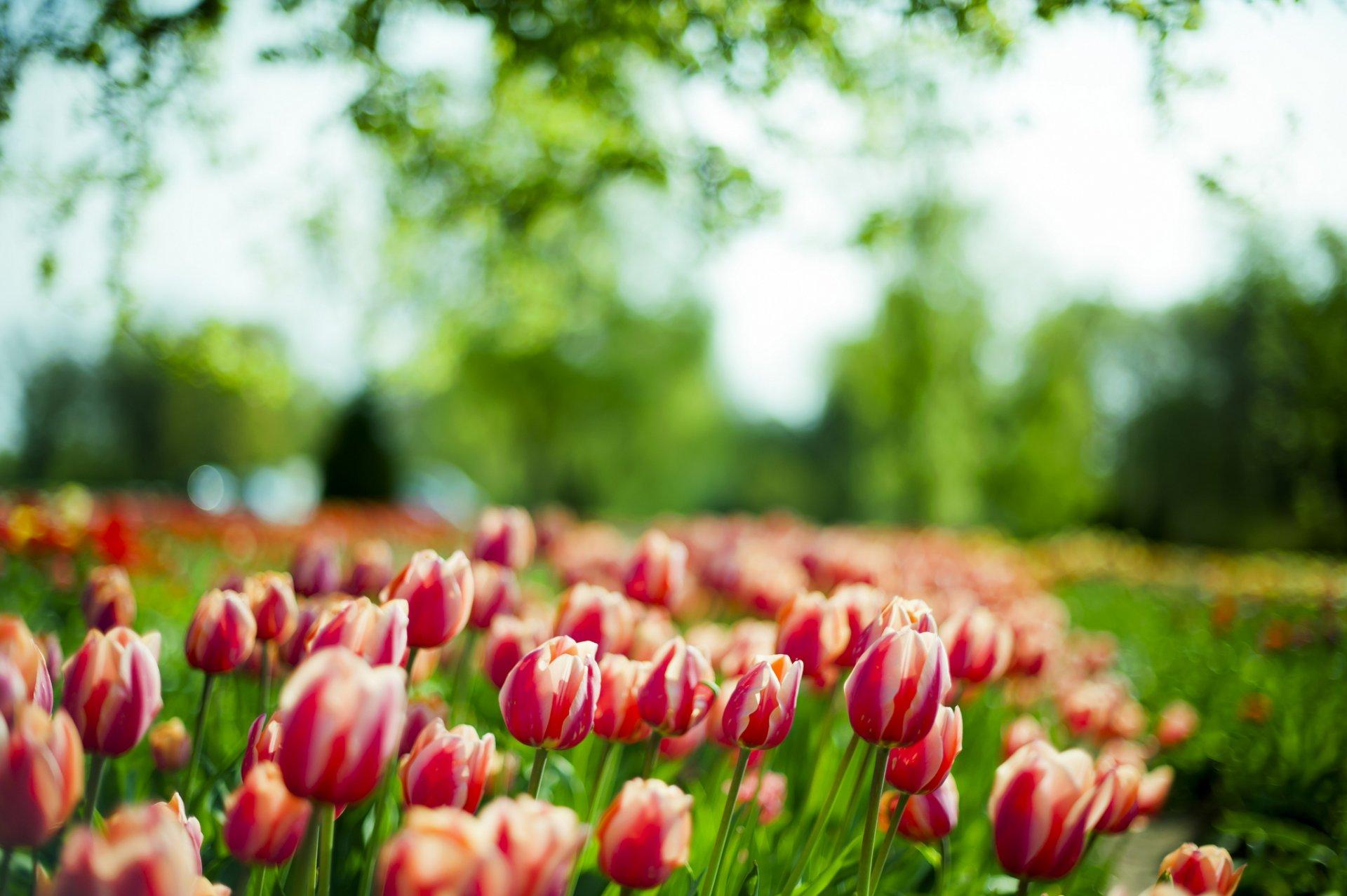 такое решение красивые картинки на рабочий стол весна тюльпаны эти места были