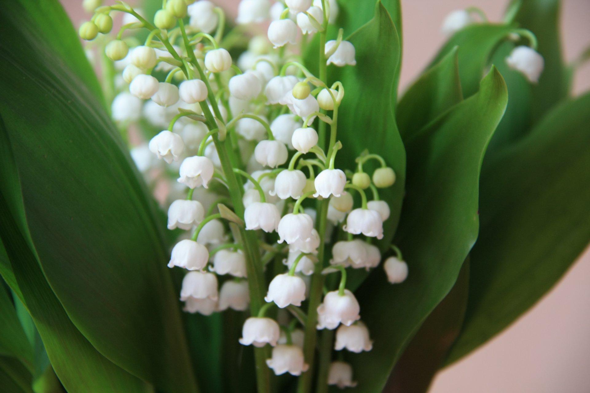 Обои ландыши, елые, цветы. Цветы foto 6