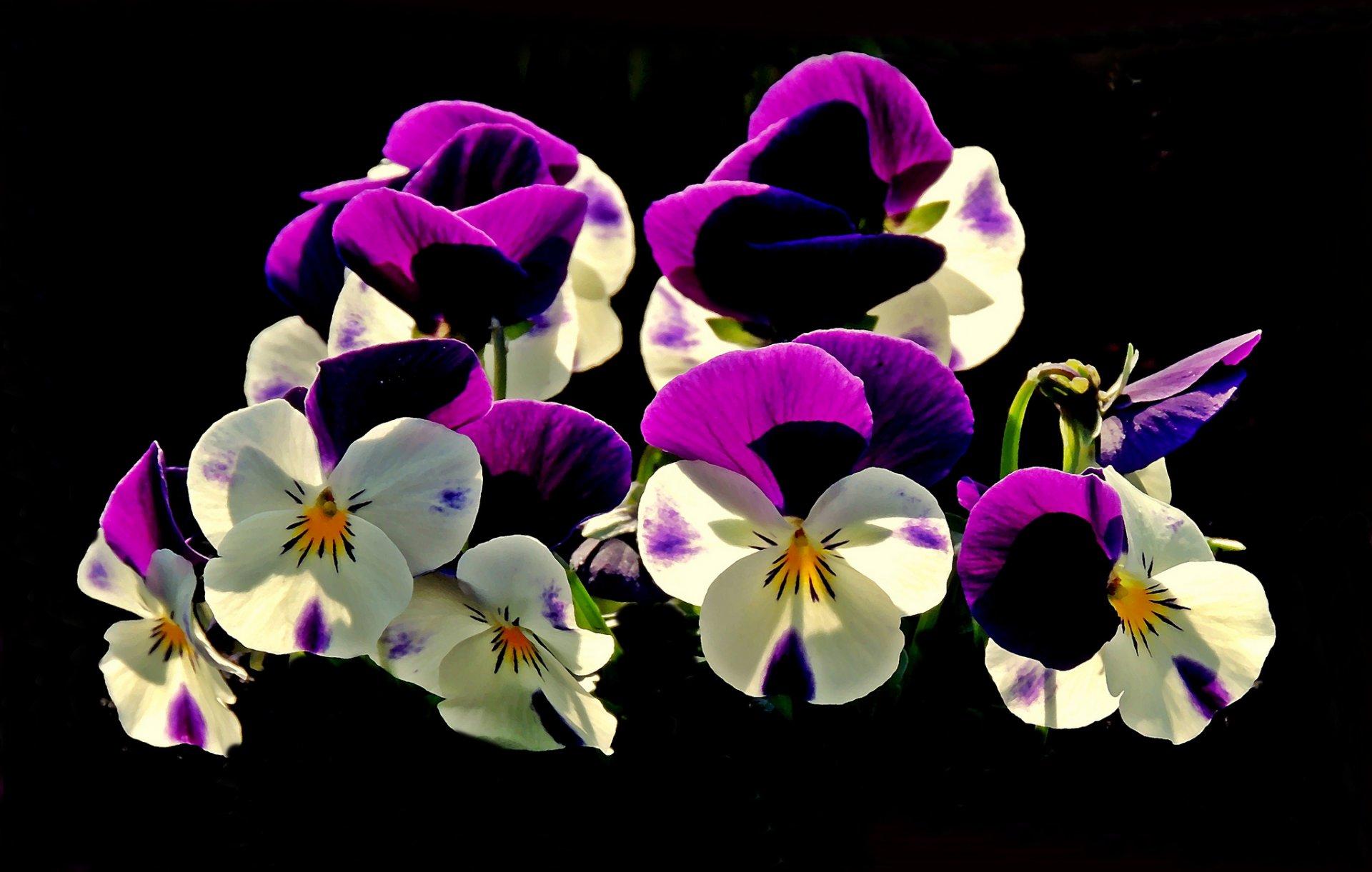 Обои цветы, анютины глазки. Цветы foto 13