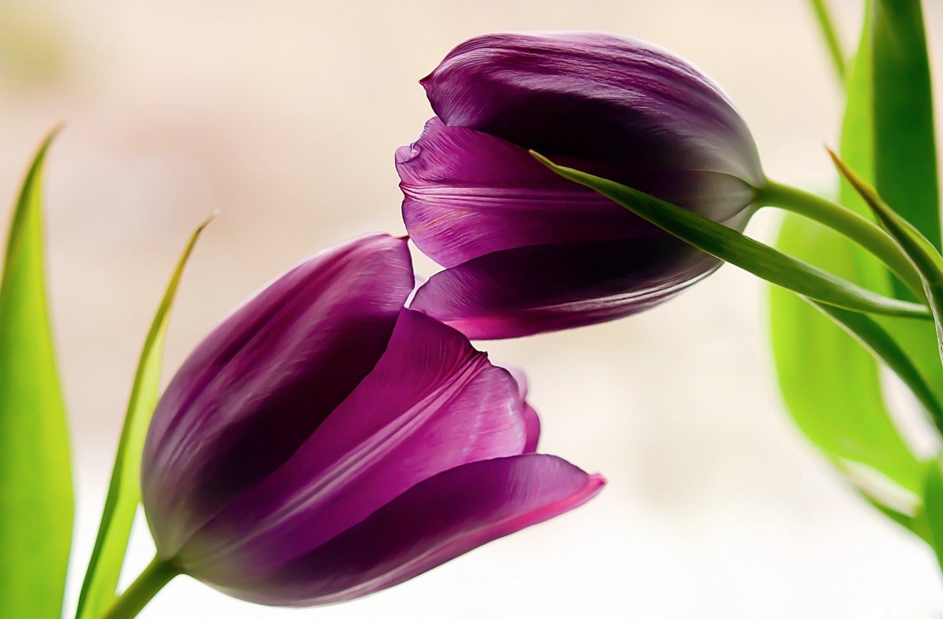 любителей фото сиреневых тюльпанов высокого разрешения магазинов