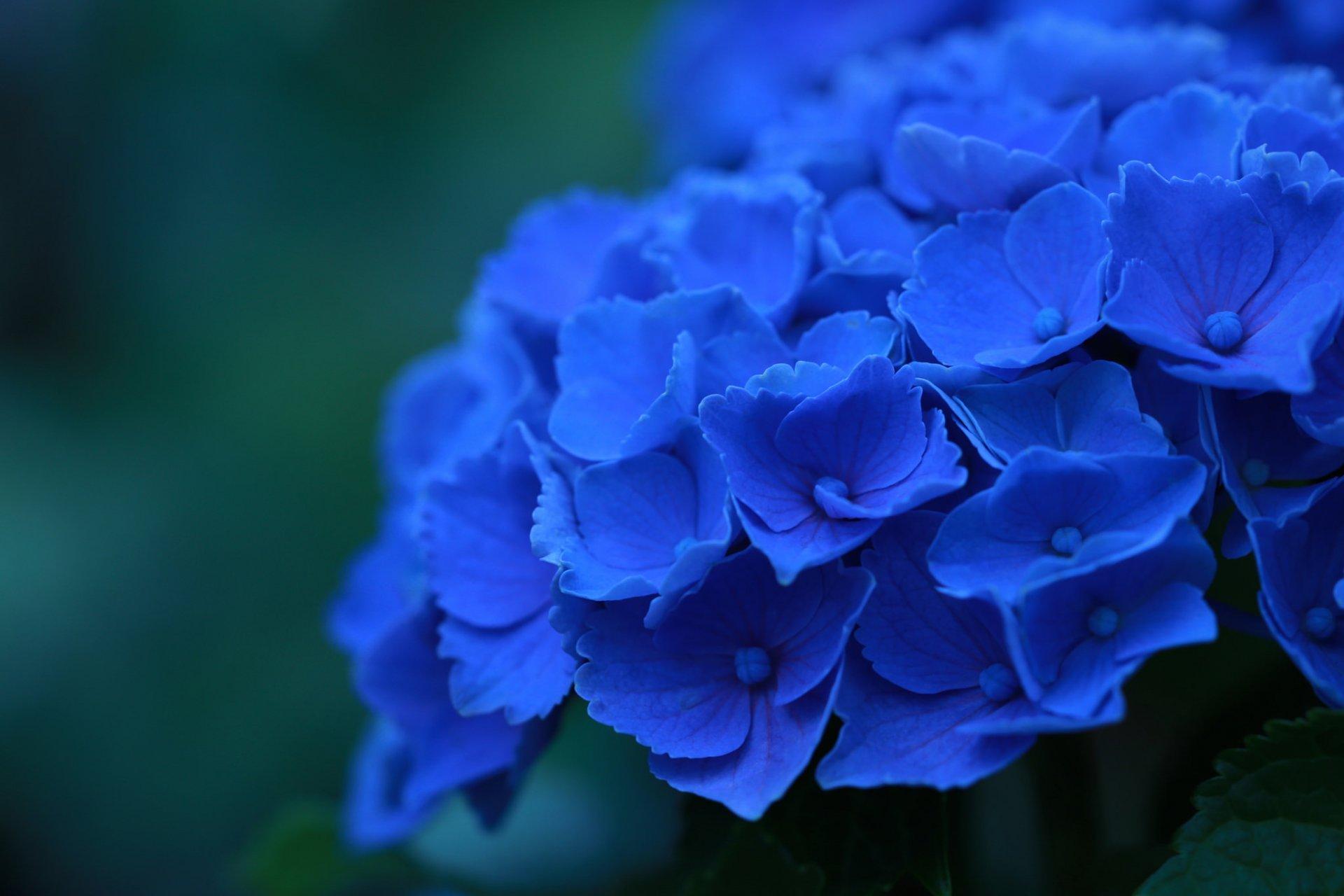 Обои синие, цветы. Цветы foto 9