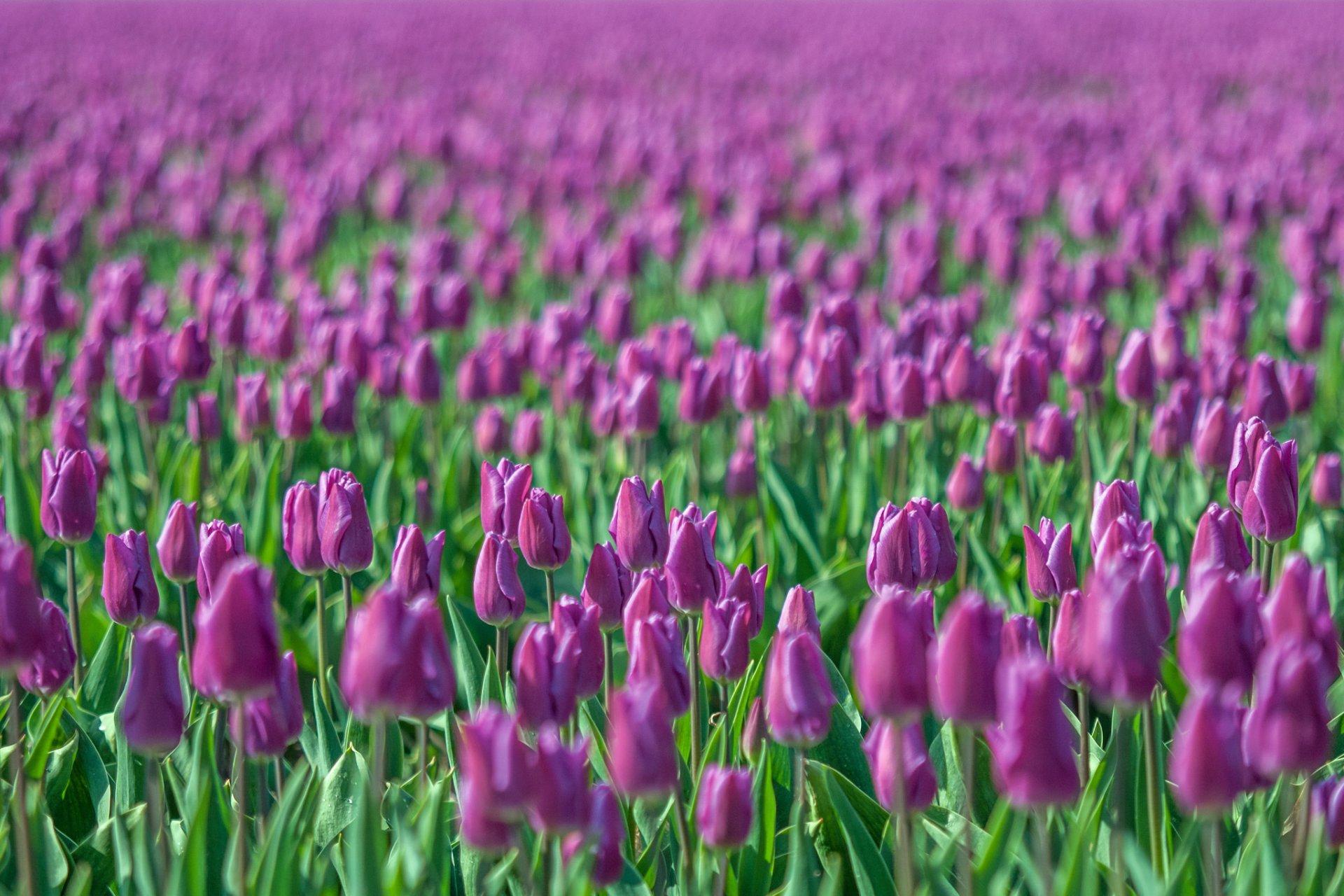 оставлять без картинки красивый цветущих на полях тюльпанов мечтали, что