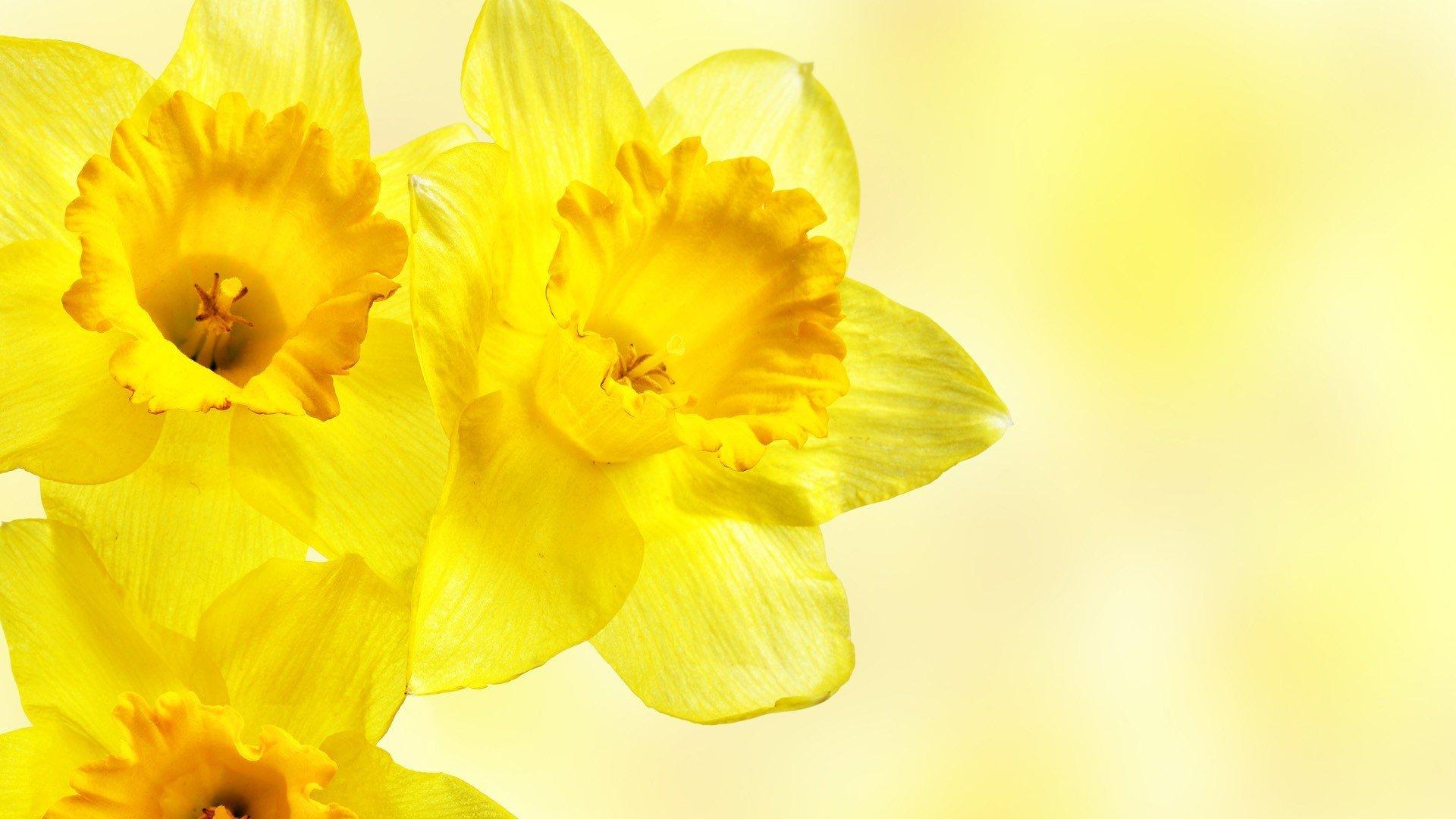 Фото цветы на желтом фоне