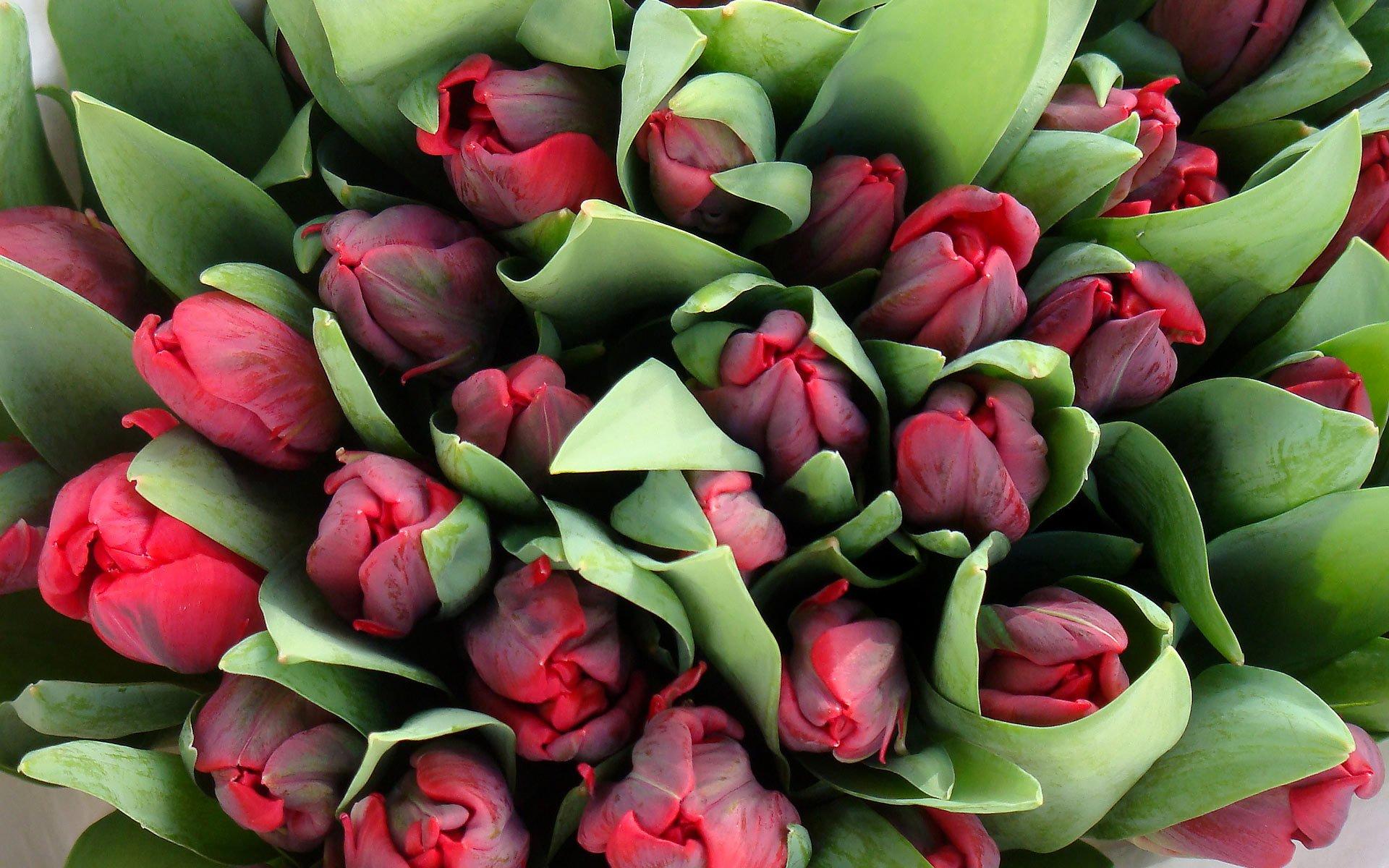 Самые красивые букеты тюльпанов в мире, калл мариуполь оригинальные