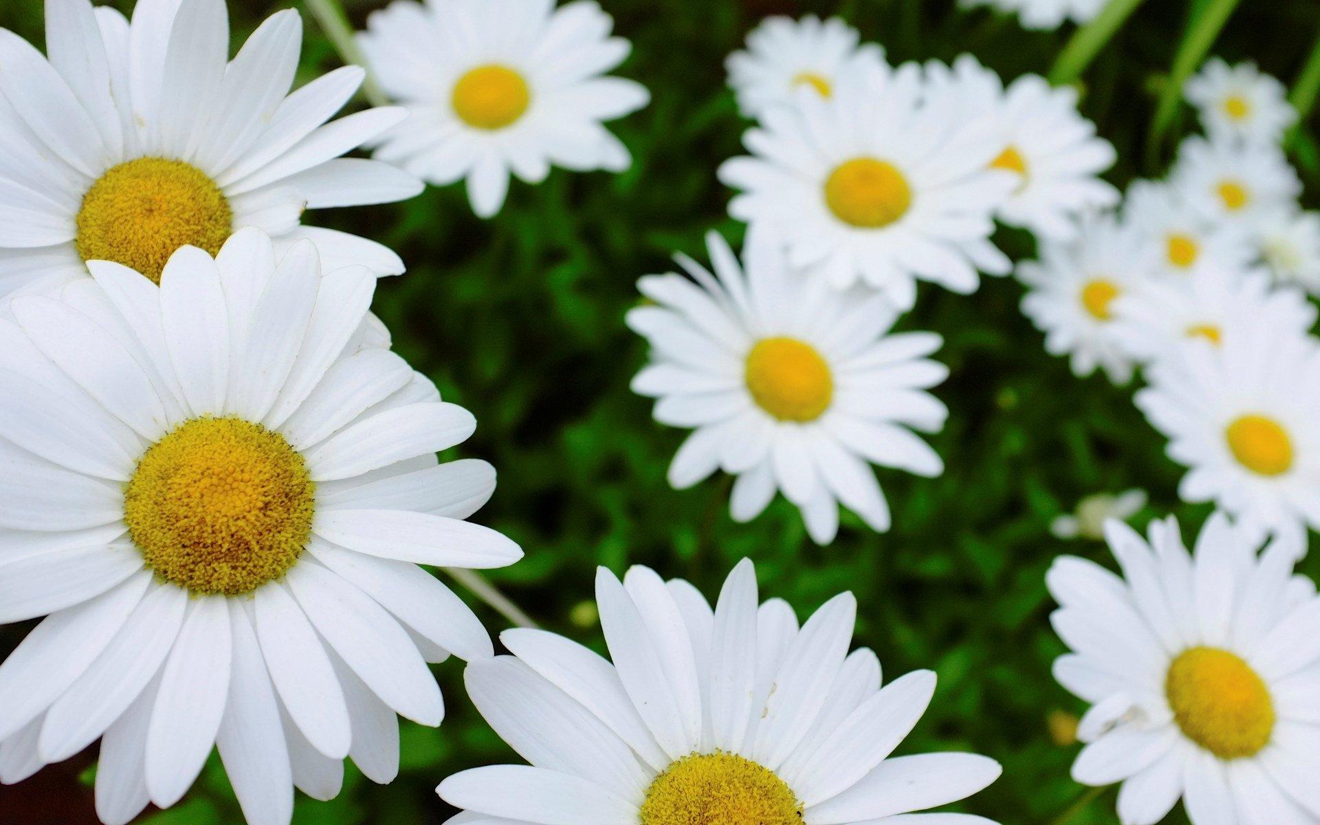 ромашка цветы фокус  № 1096411 без смс