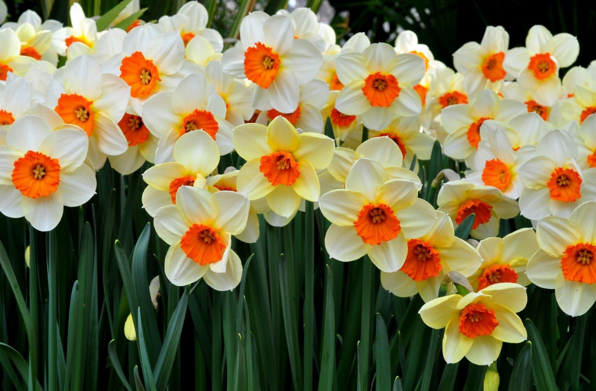 Днем рождения, цветы нарциссы картинки красивые