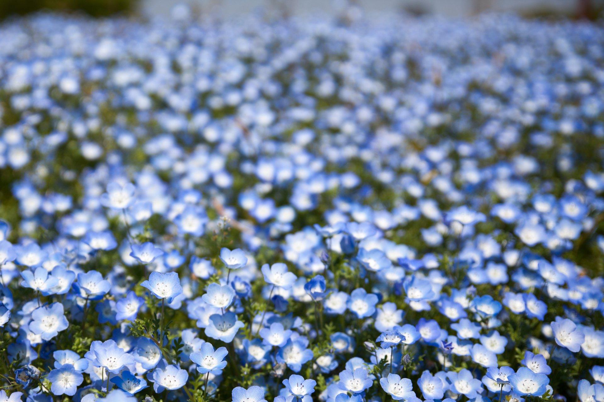 Синие цветы с названиями - Фото цветов 51