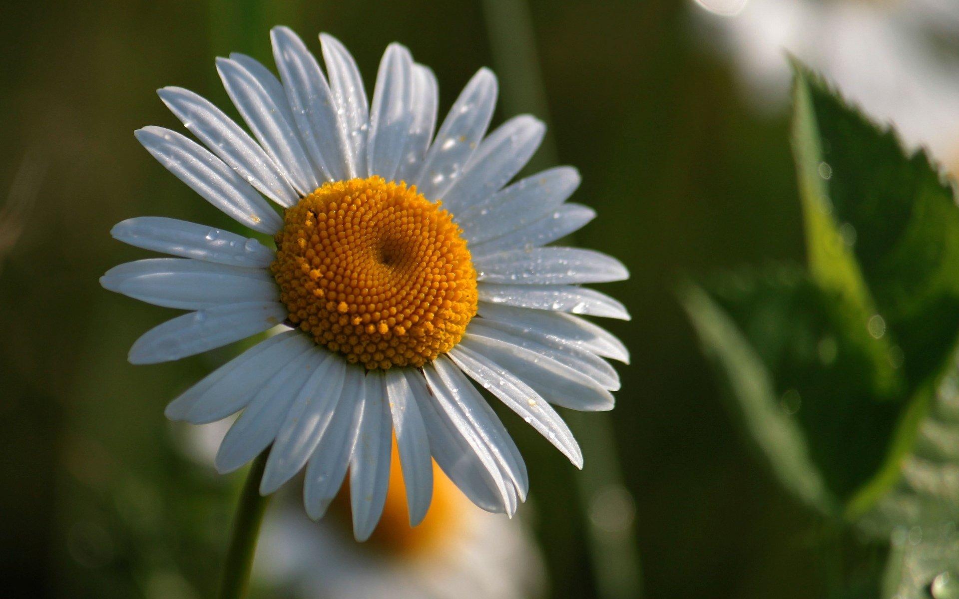 Картинки цветочка ромашки