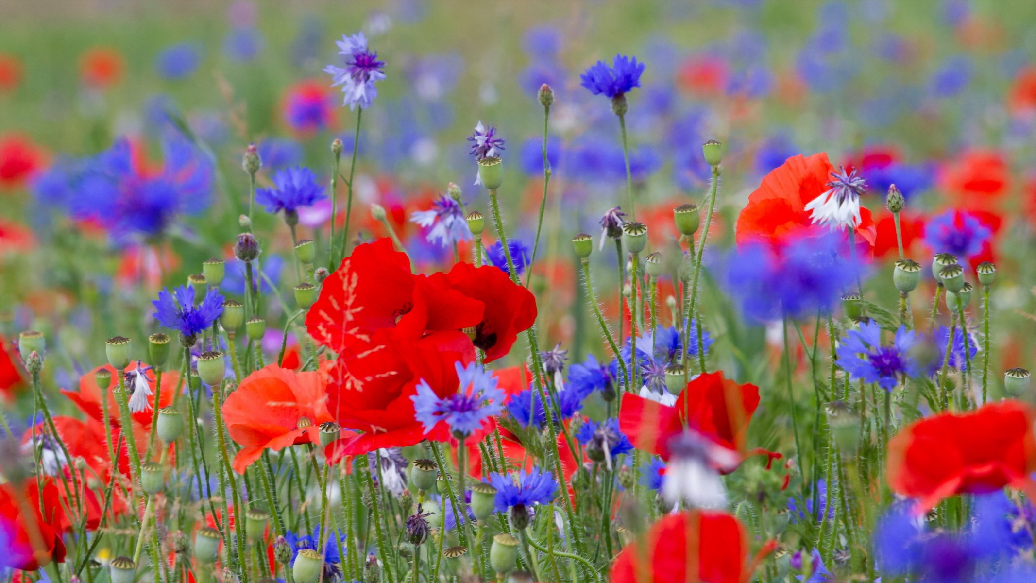 Обои цветы, широкоформатные. Природа foto 11