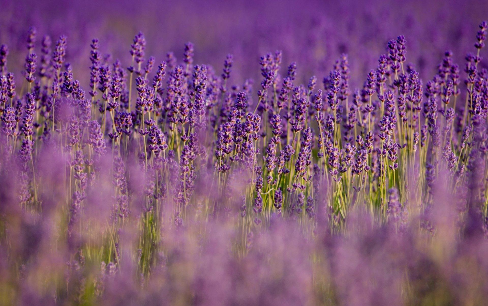 lavender background wallpaper - HD1920×1205