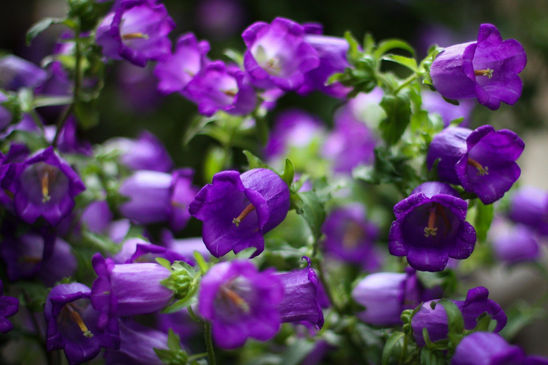 Фото картинки с цветами колокольчиков