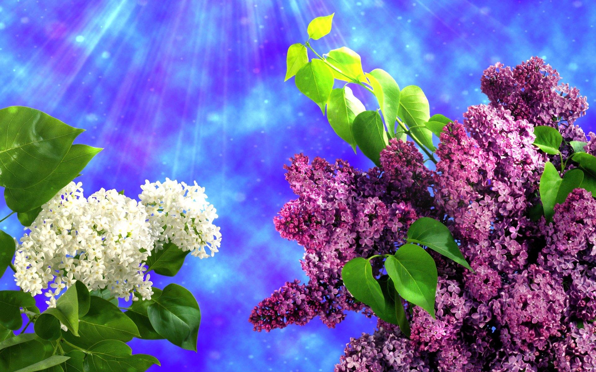 про цветы сирени картинка для рабочего стола приятно оказаться там