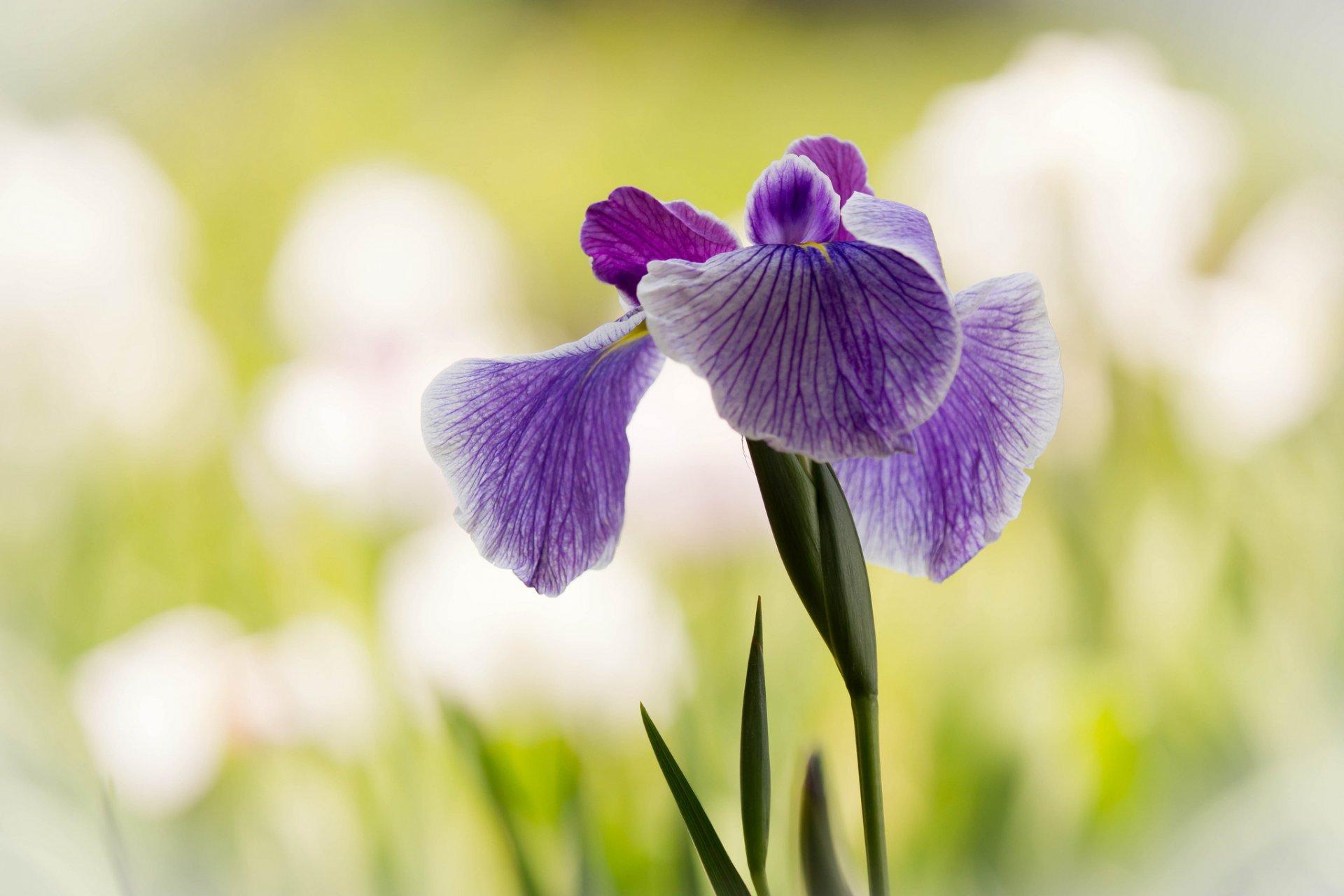 шмель,ирис,цветок,лето  № 529539 бесплатно