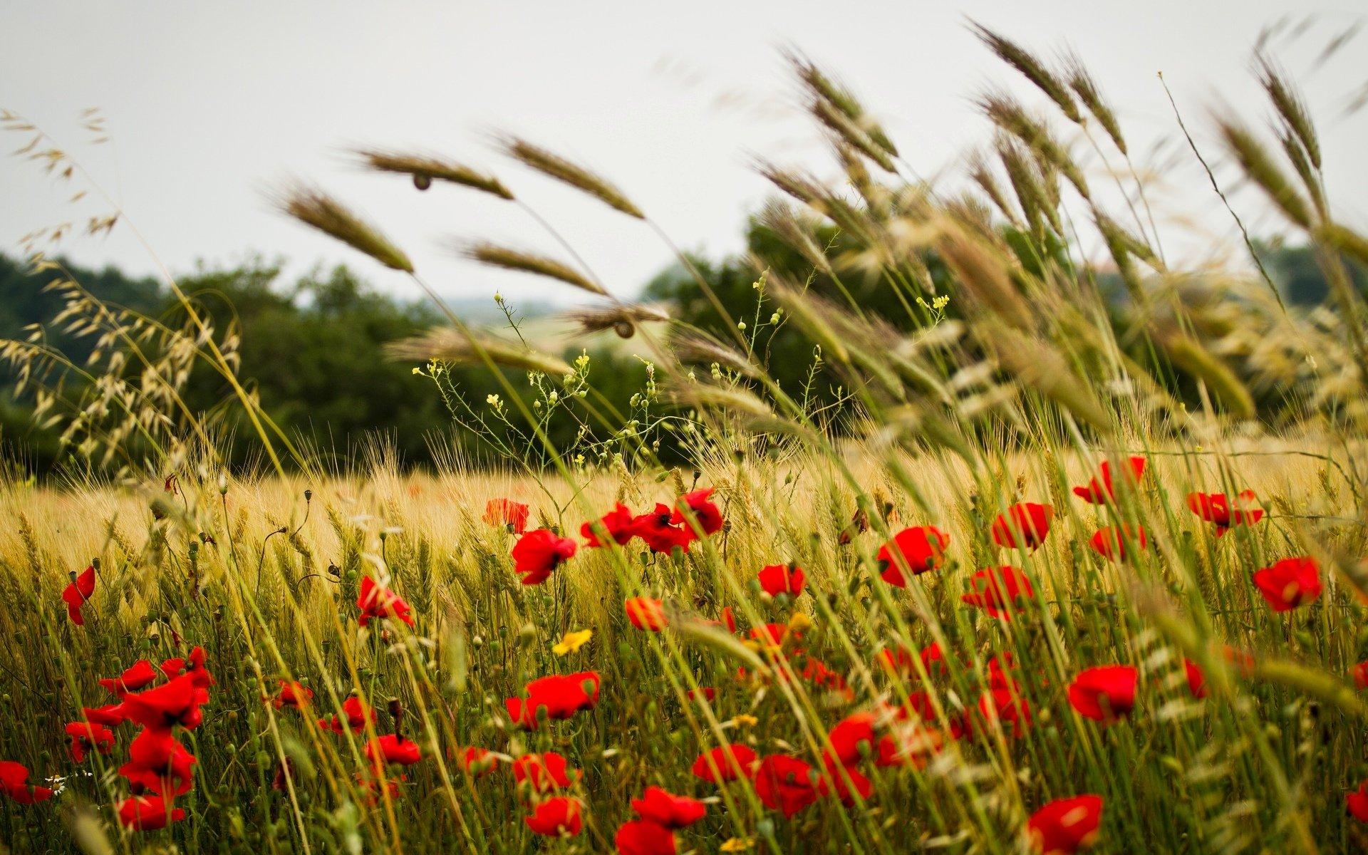 зеленые колосья цветы поляна  № 3213942 без смс