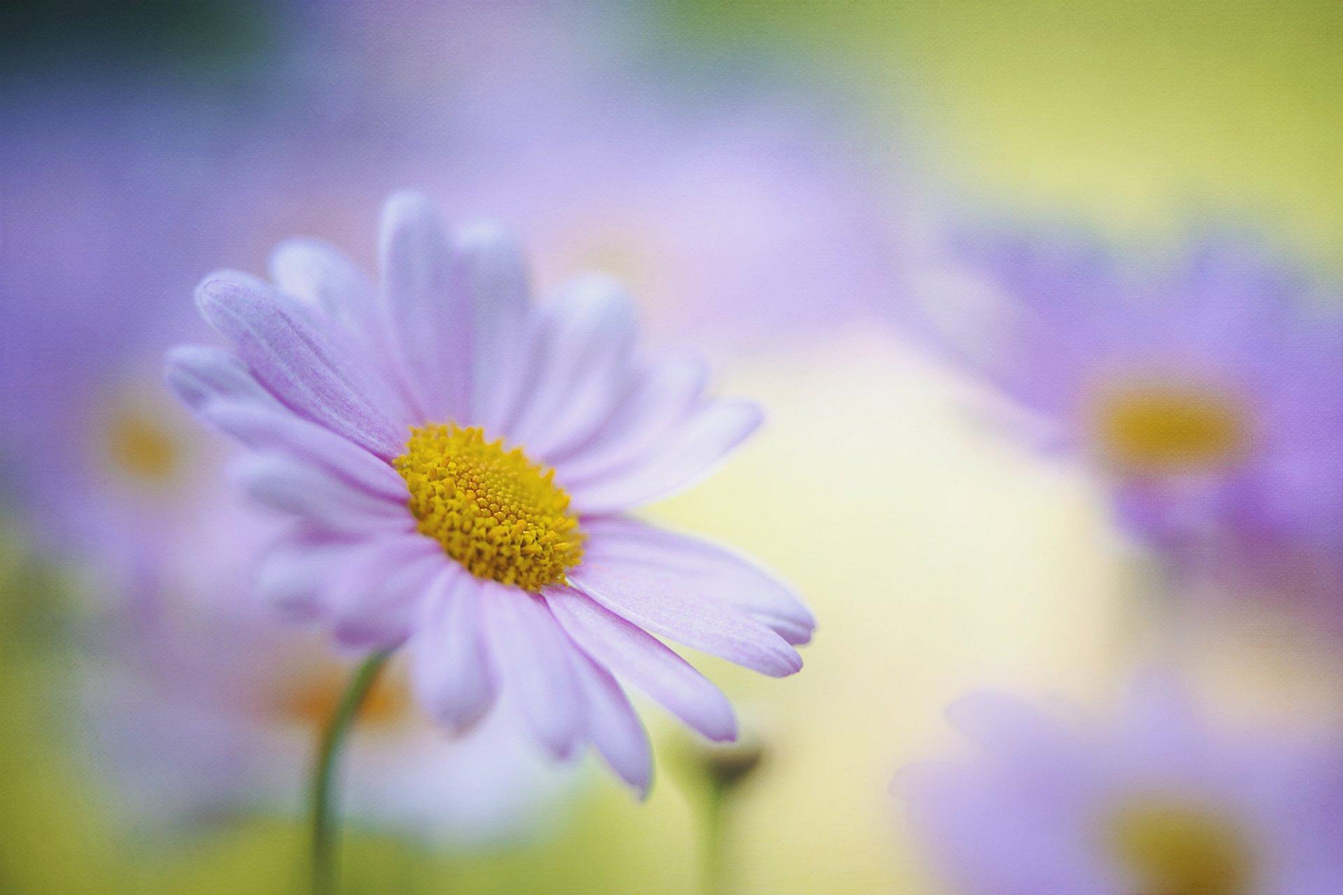 ромашка макро цветы без смс