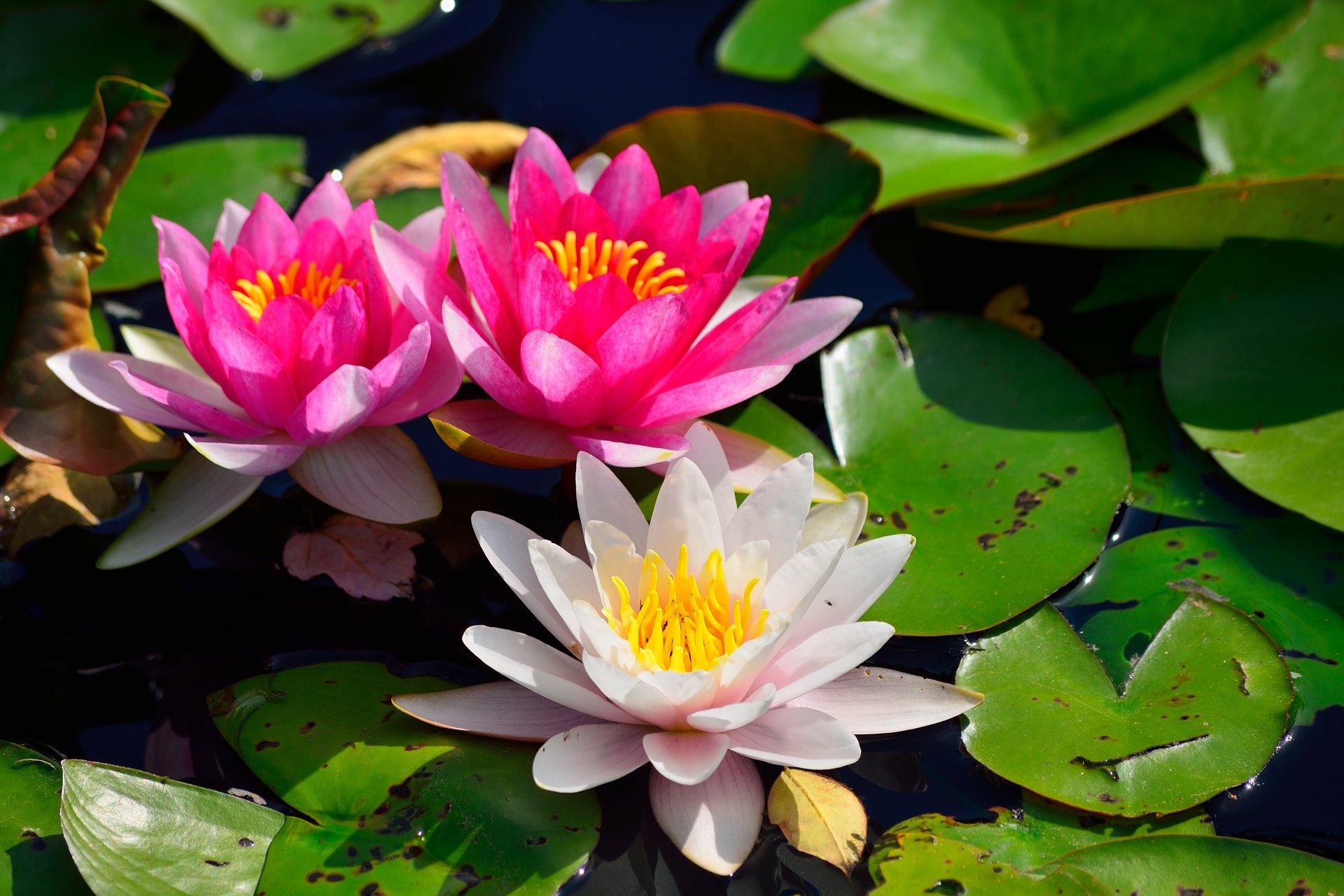 картинки для рабочего стола цветы кувшинки будет подкладывать тебе