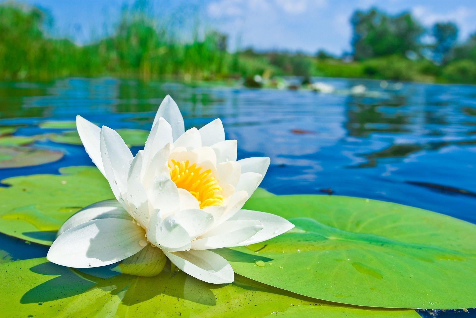 Кувшинка цветка