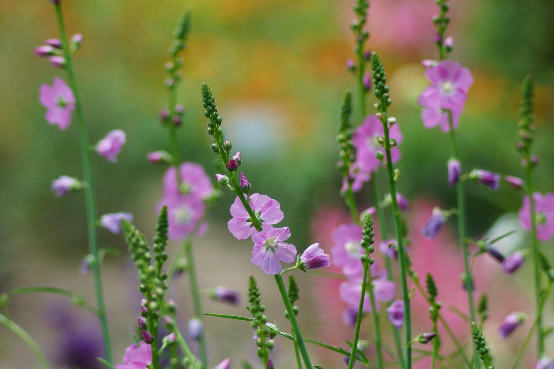цветы полевые розовые загрузить