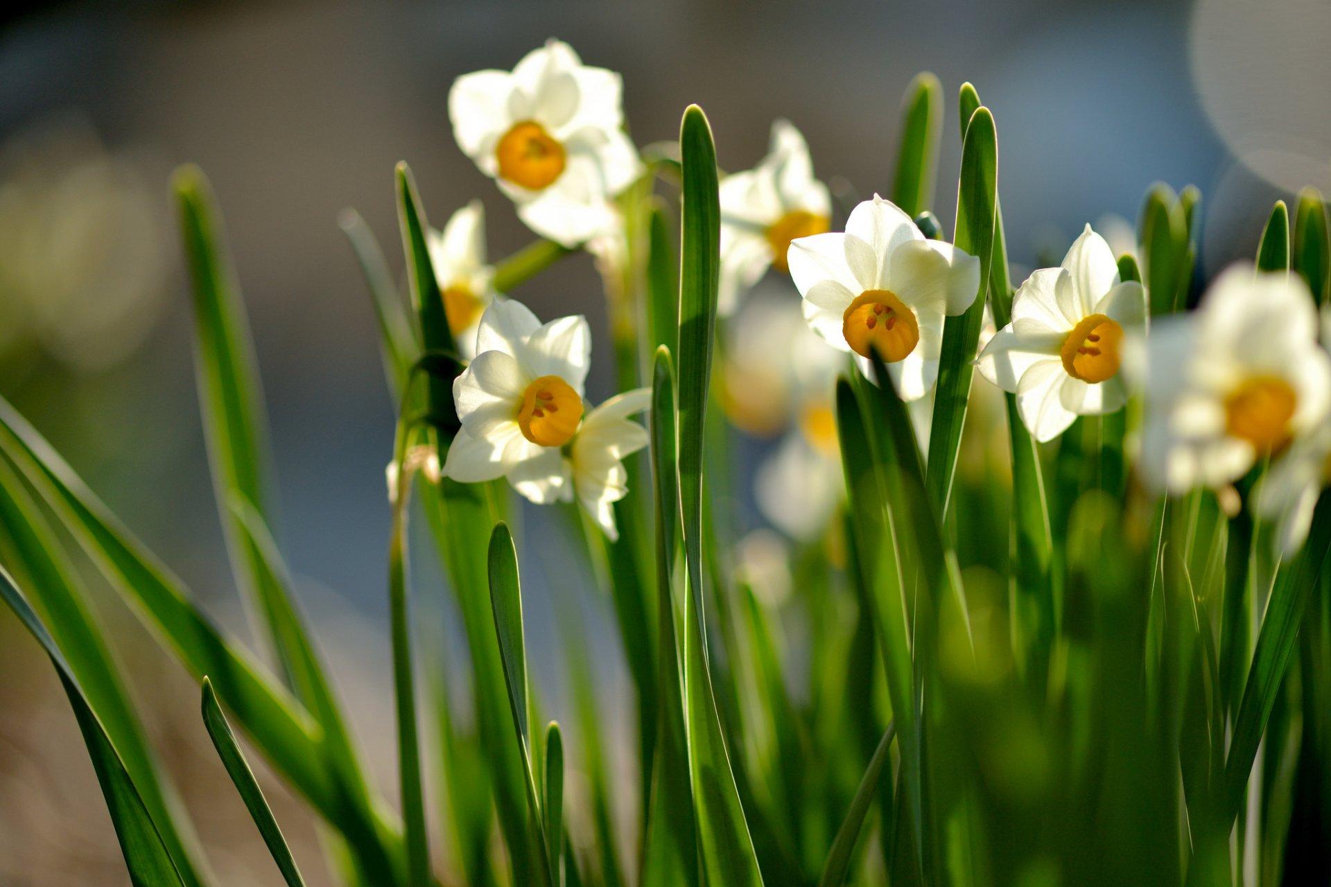 Картинки весны цветы нарциссы