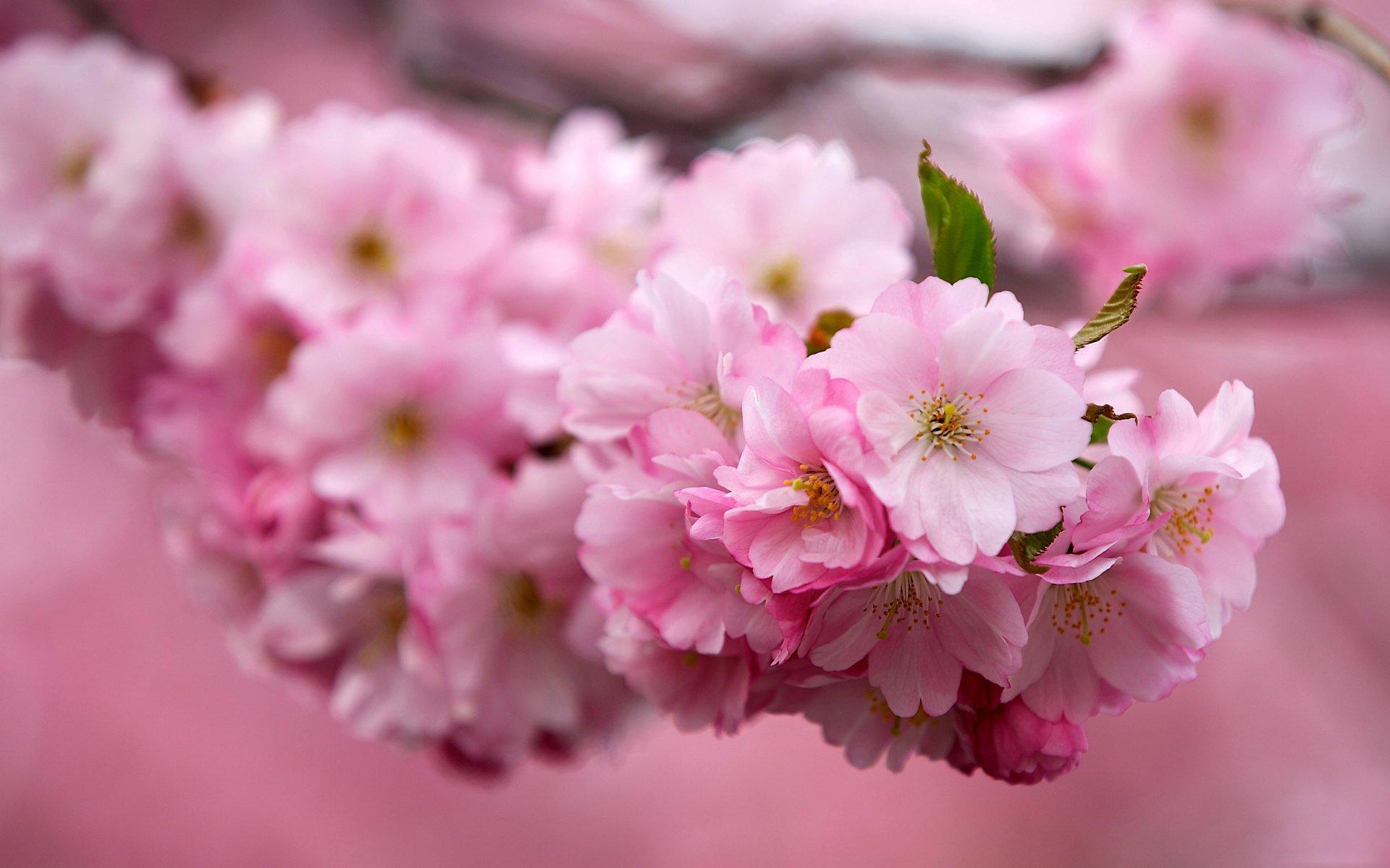 Цветение сакуры фото высокого разрешения - King Sport 68