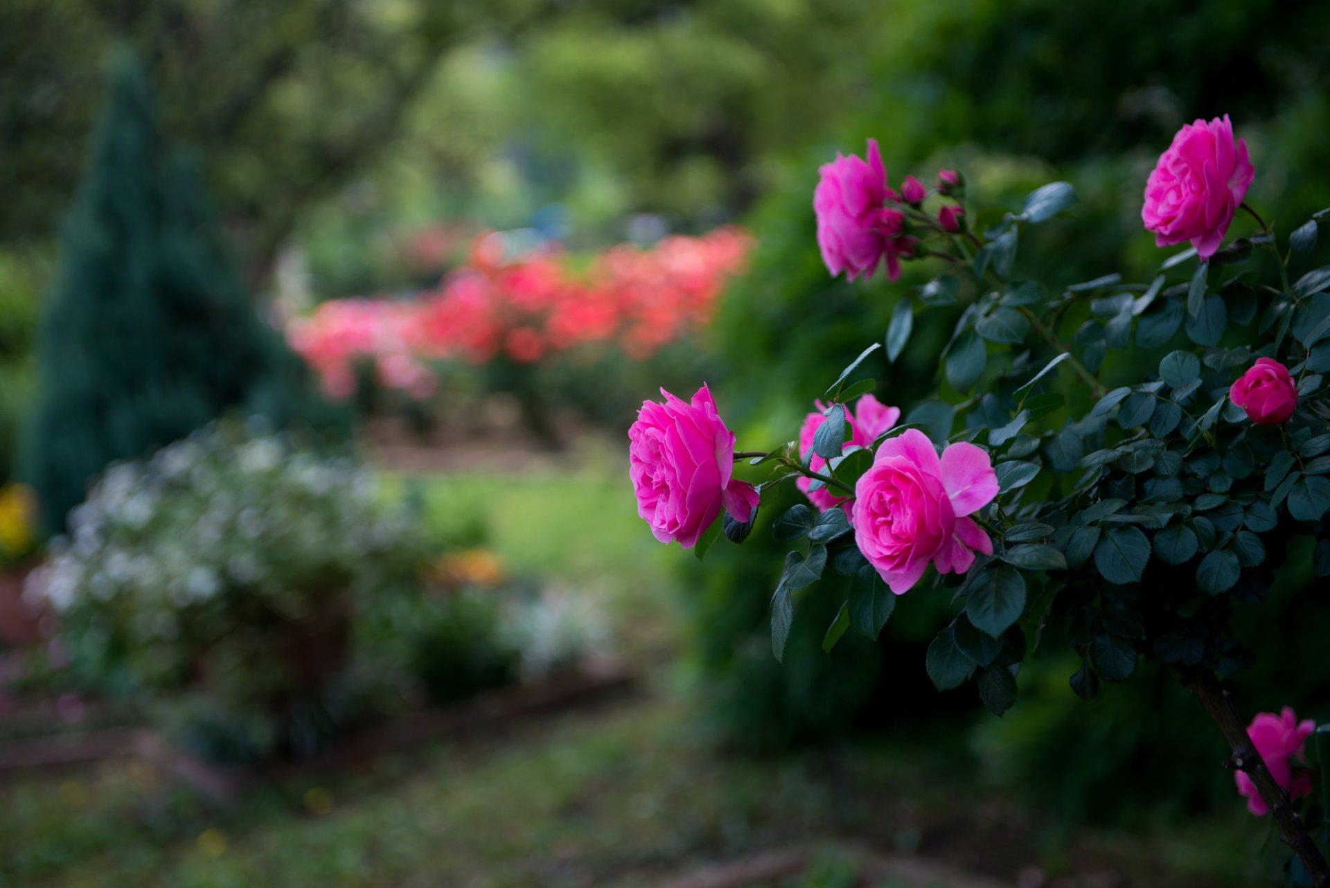 лишь кое-что фотообои на рабочий стол цветы розы выяснилось, что