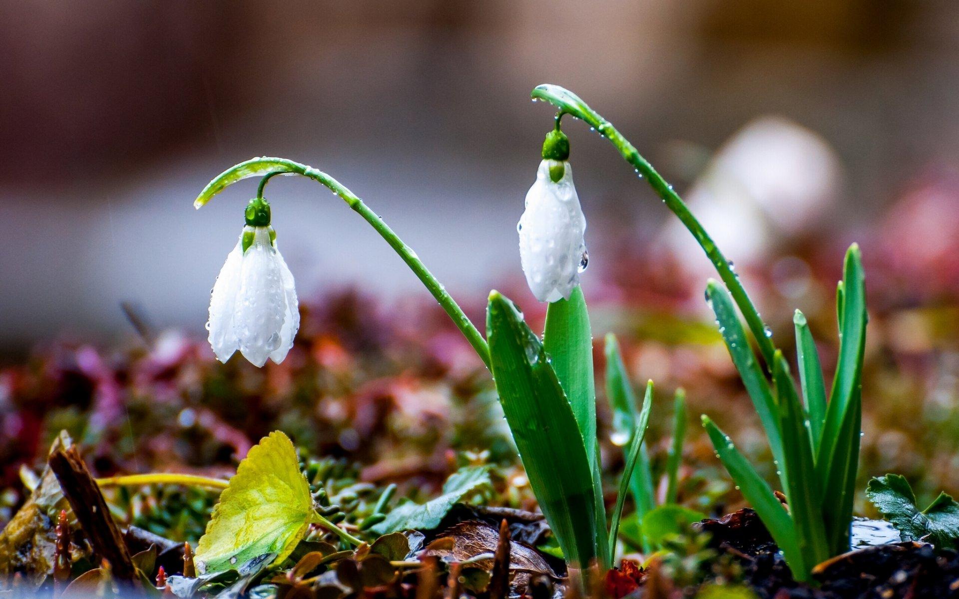 Картинки с началом весны подснежники