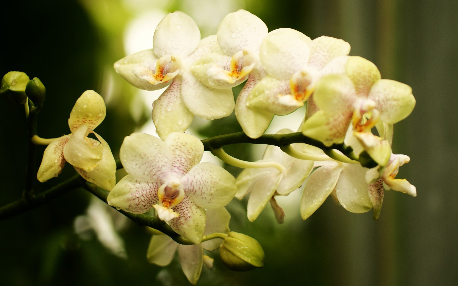 фото цветы обои на рабочий стол орхидеи вид