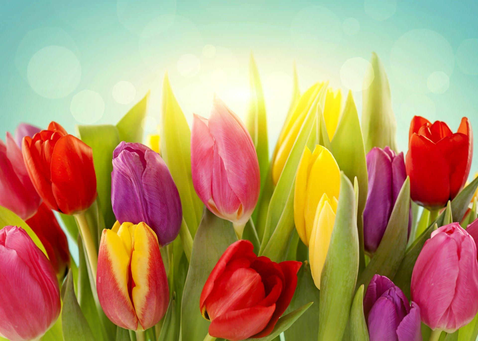 Тюльпаны цветы картинки красивые, программисту