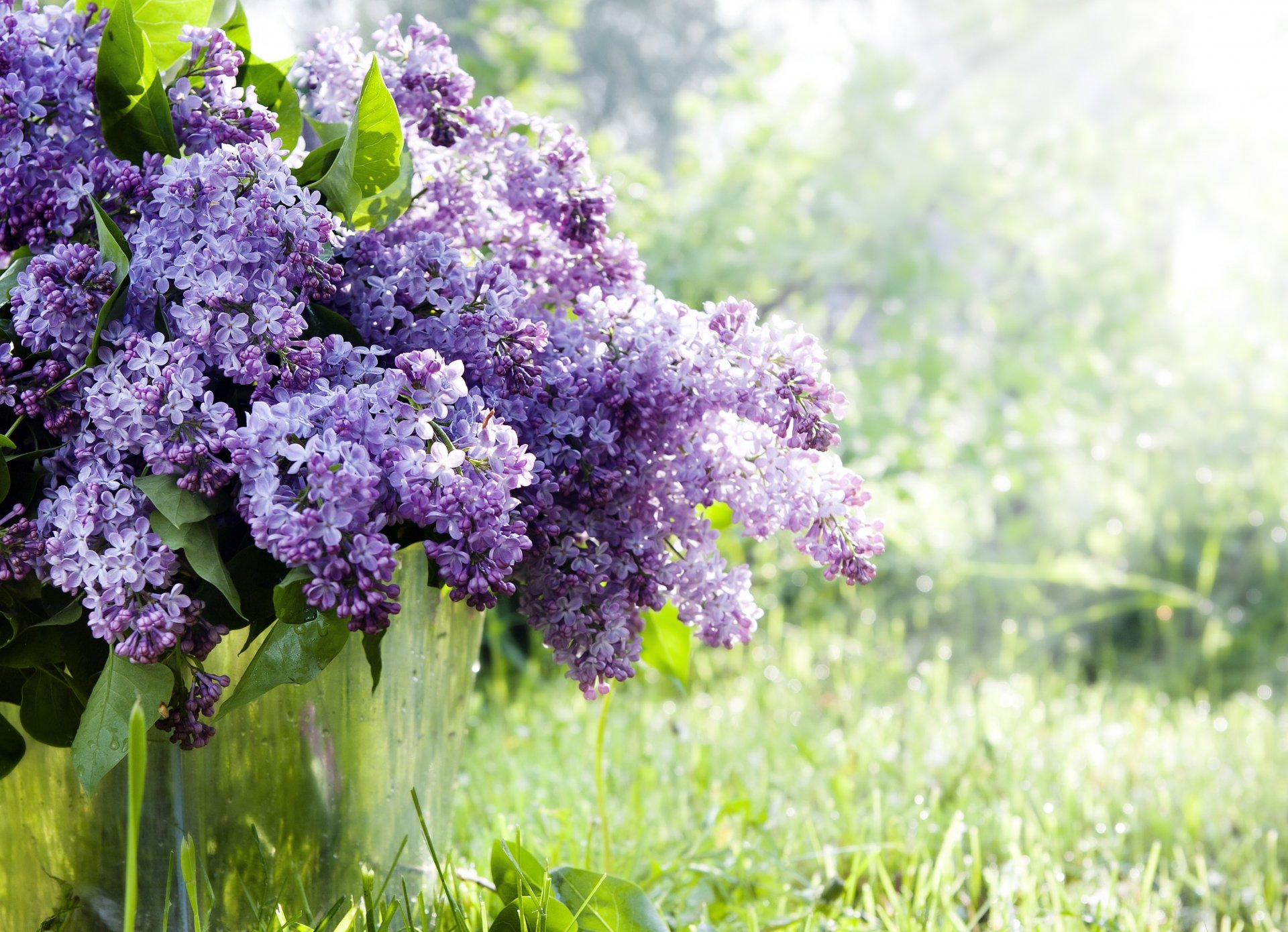 Фото цветов сирень в хорошем качестве