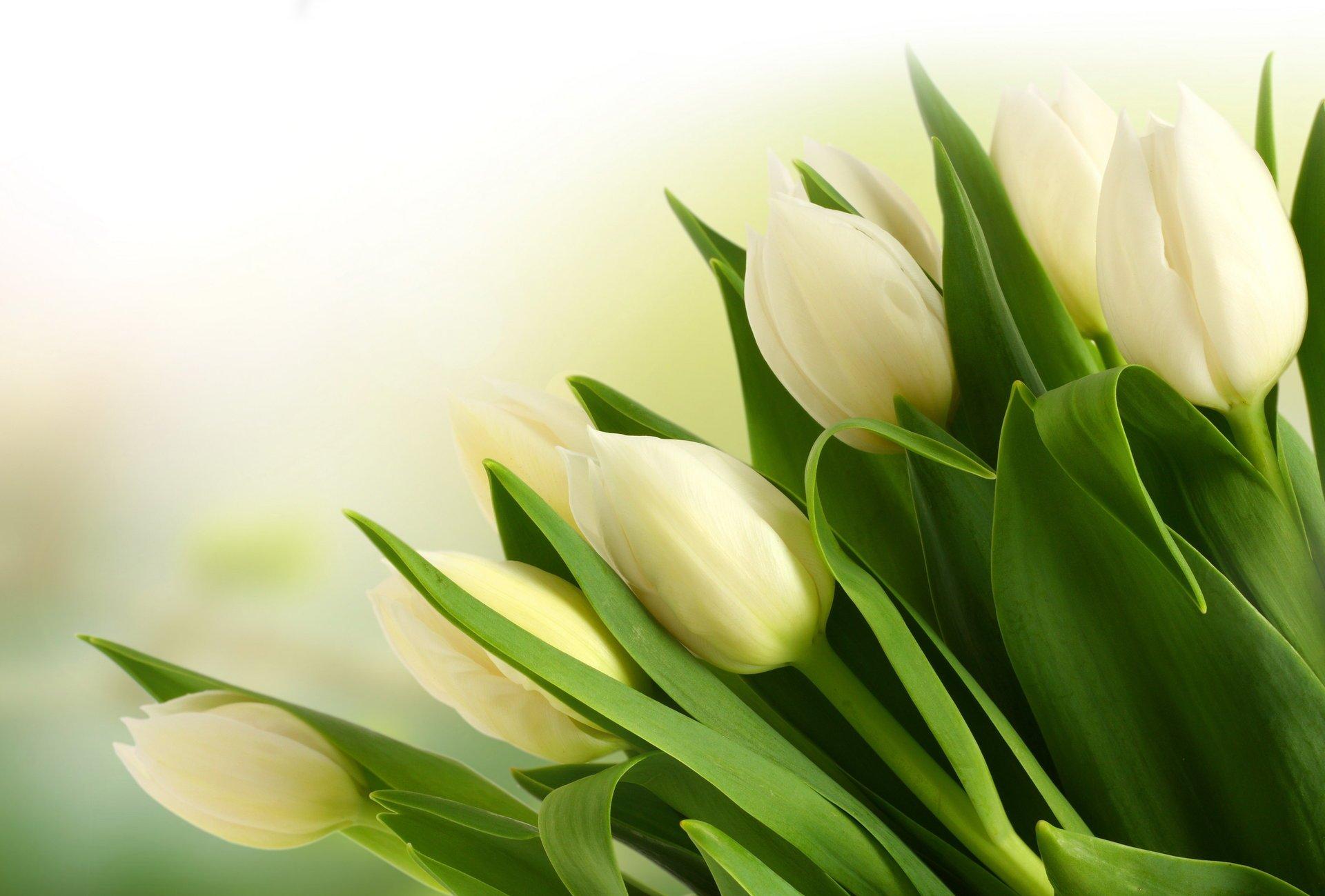 букет,тюльпаны,листья  № 415732 бесплатно
