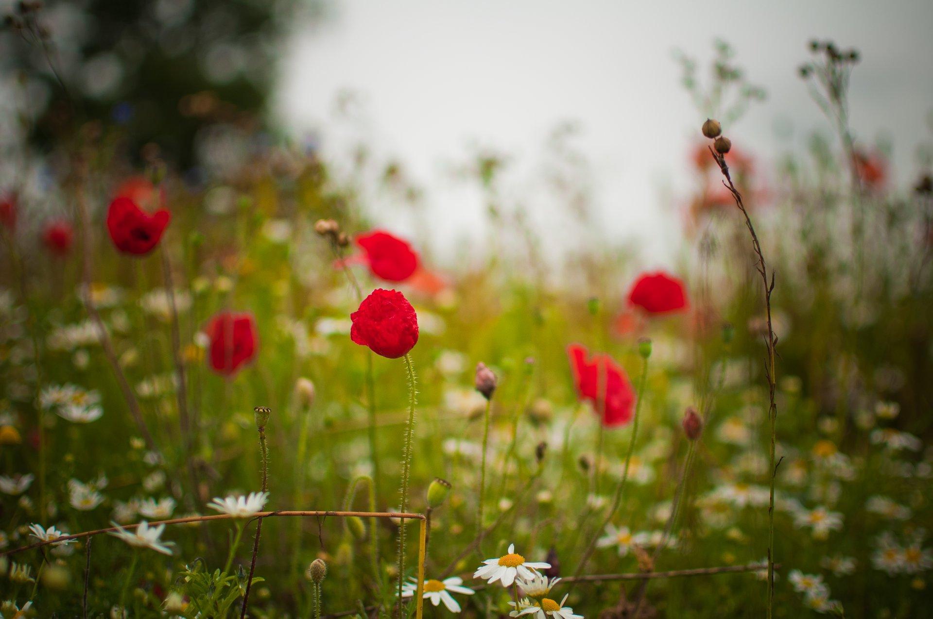 красные цветы трава ромашки природа  № 3836356  скачать