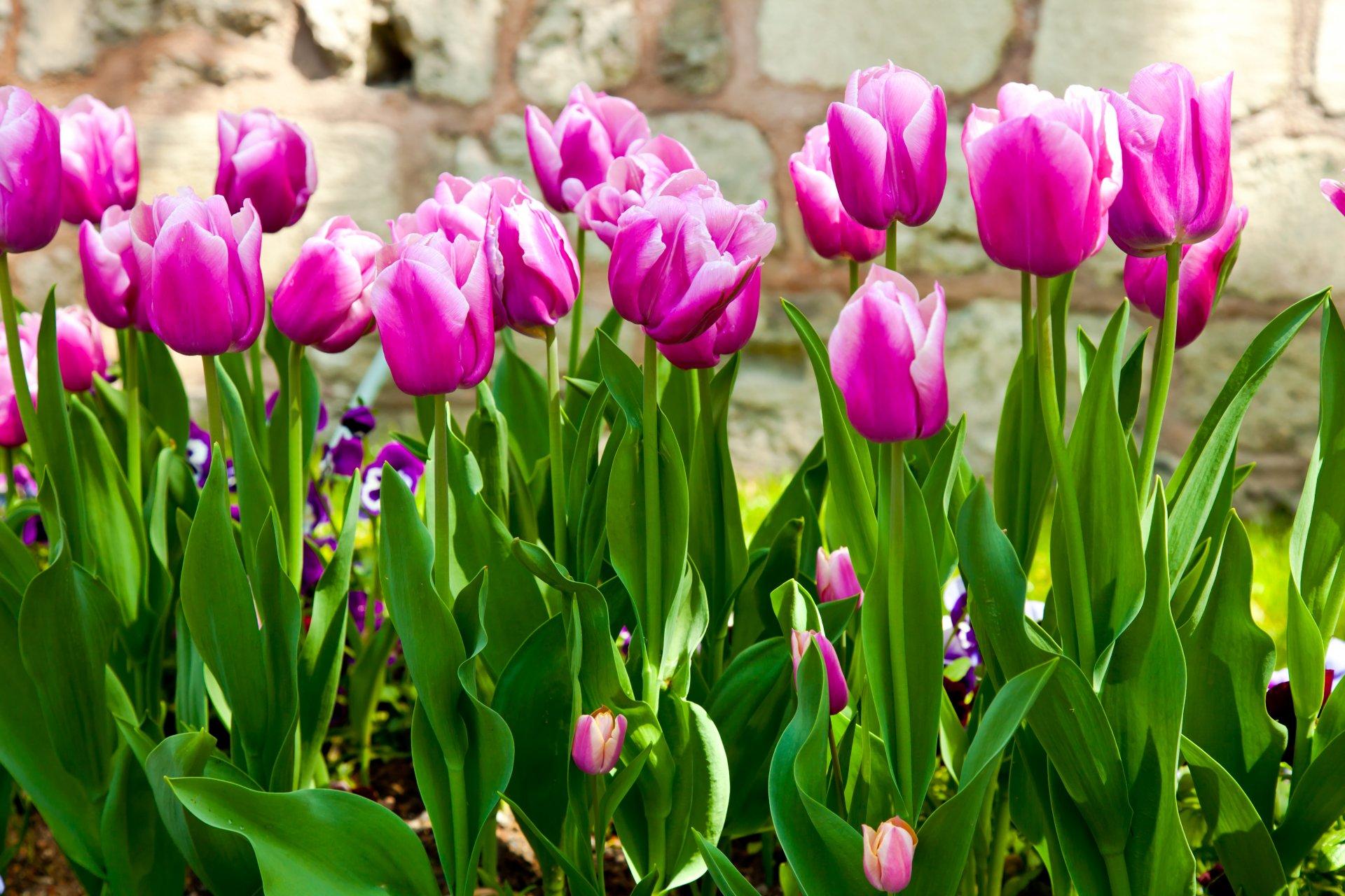 этом случае тюльпаны сиреневые фотообои теперь свадьба оказалась