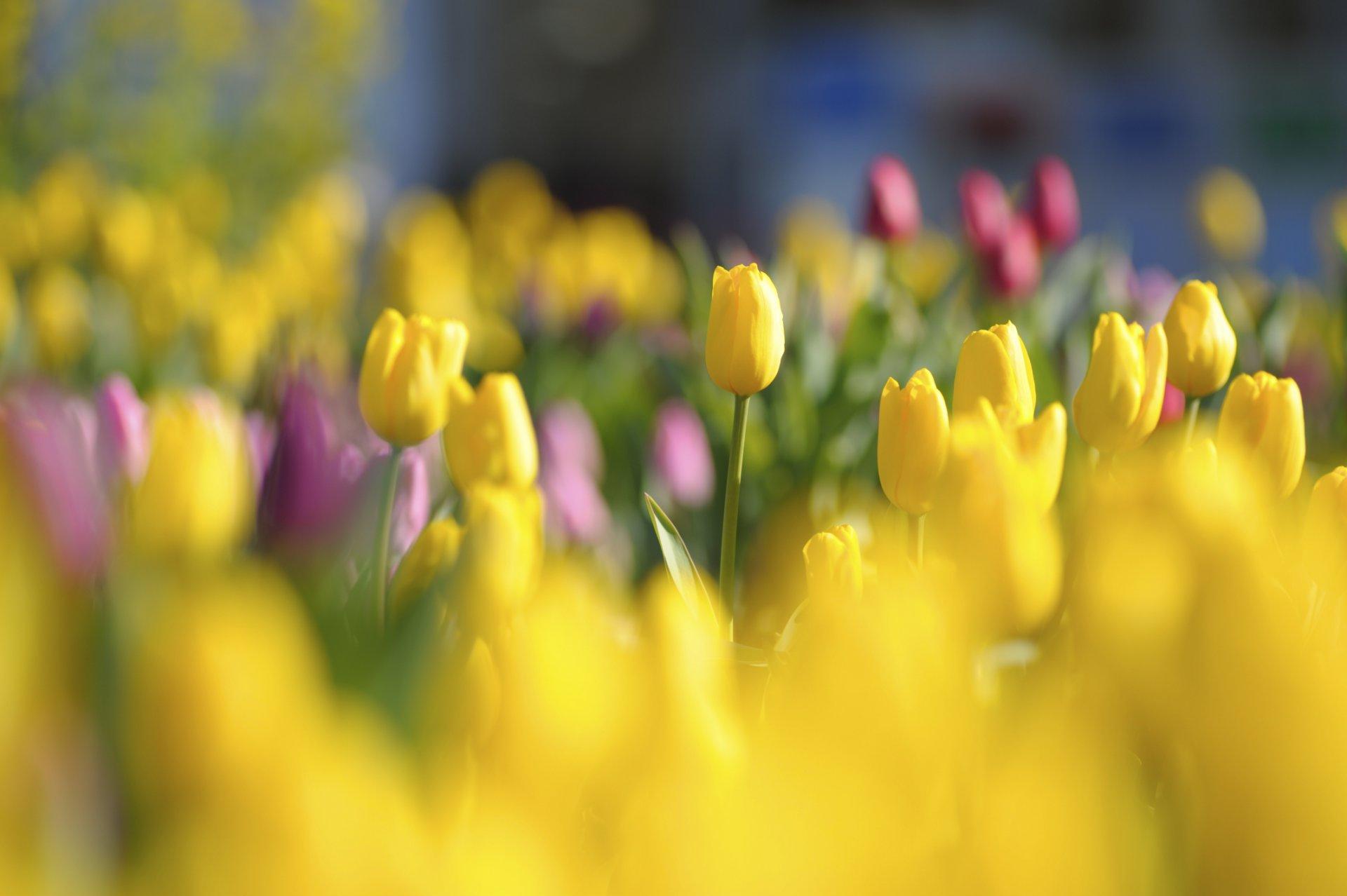 красные тюльпаны бутоны цветы бесплатно