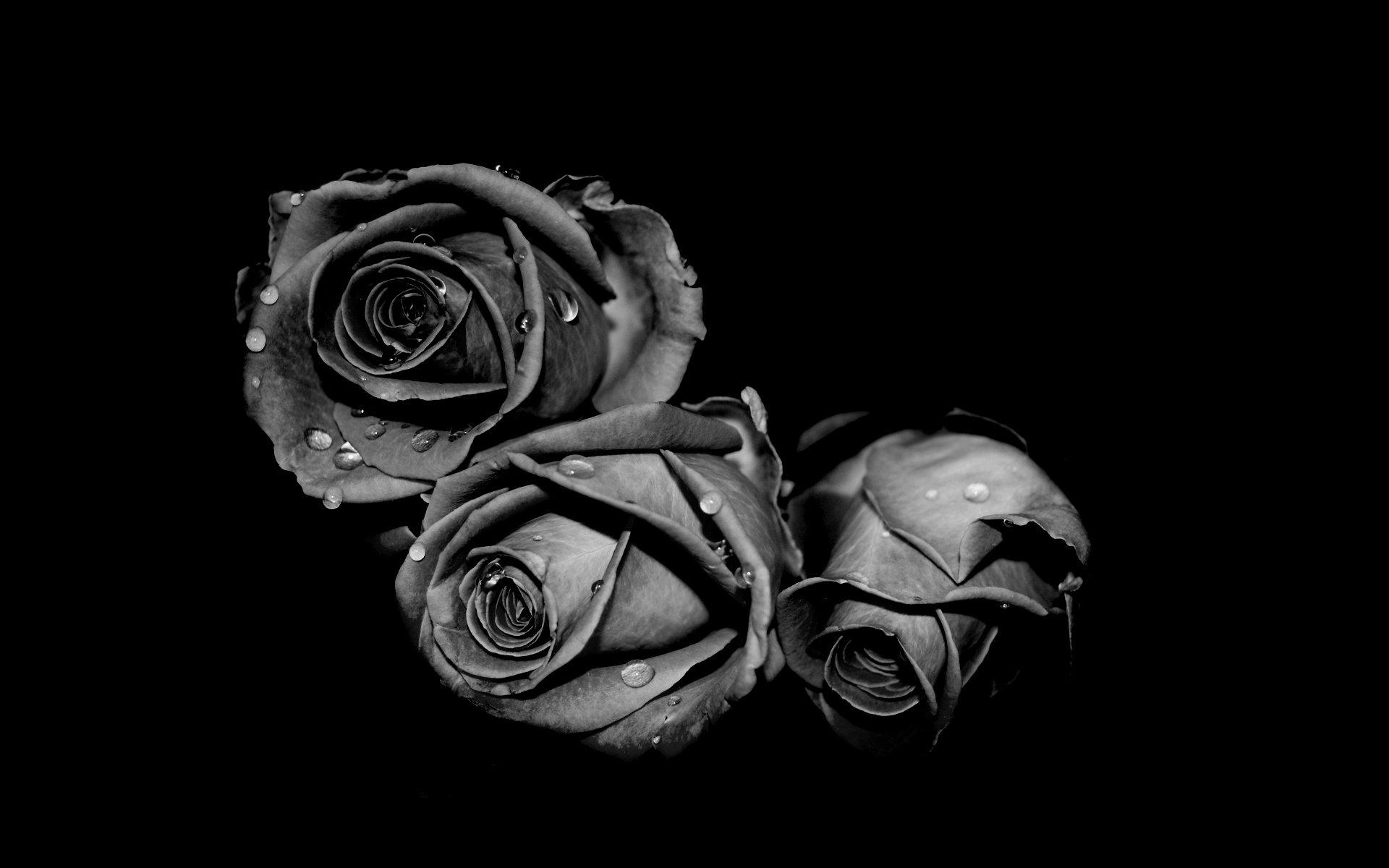 Днем, картинки черная роза на рабочий стол