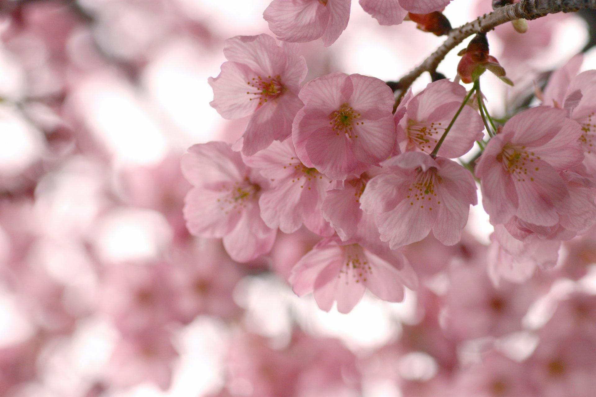 Цветение сакуры фото высокого разрешения - King Sport 79