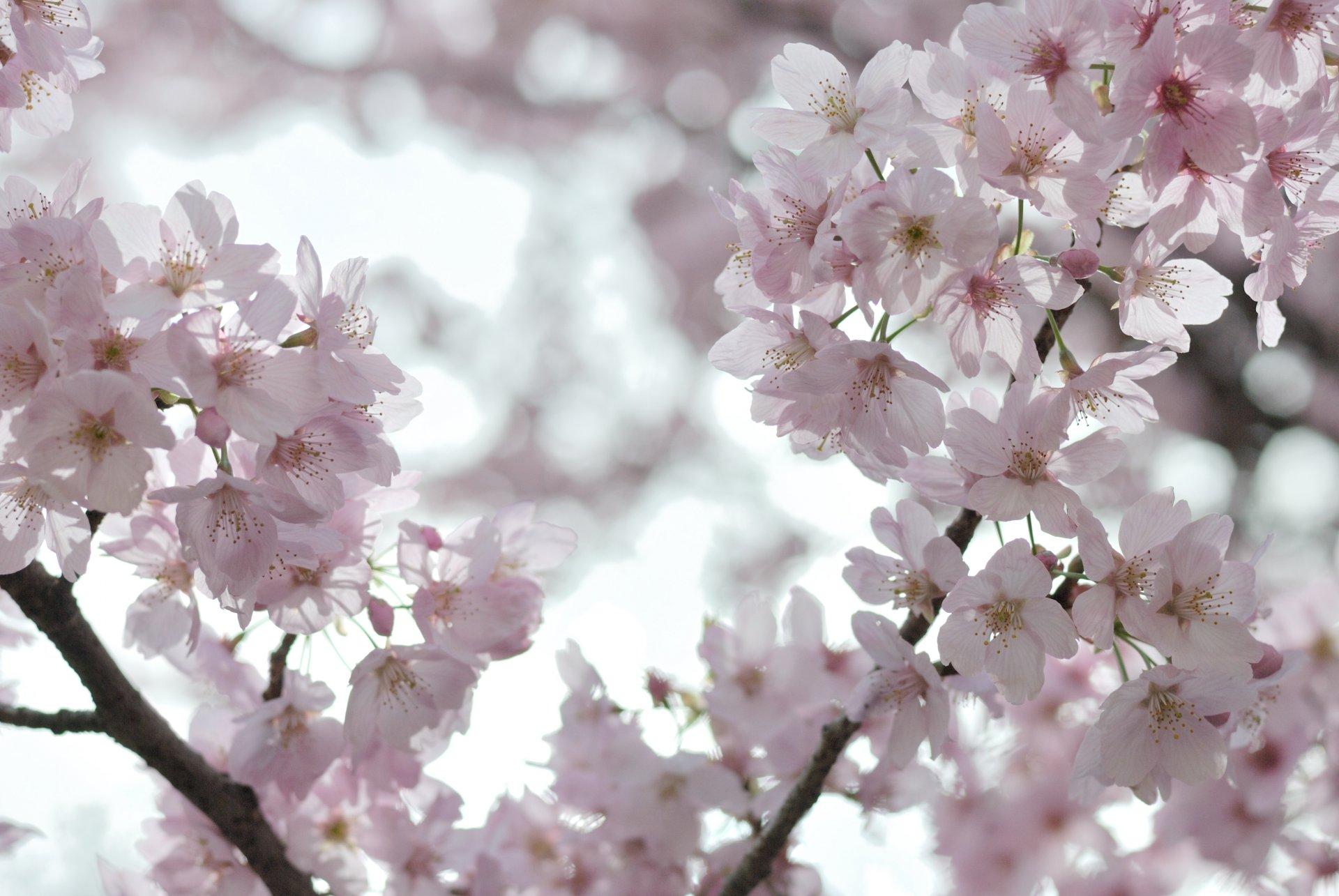 Открытки вишня цветет