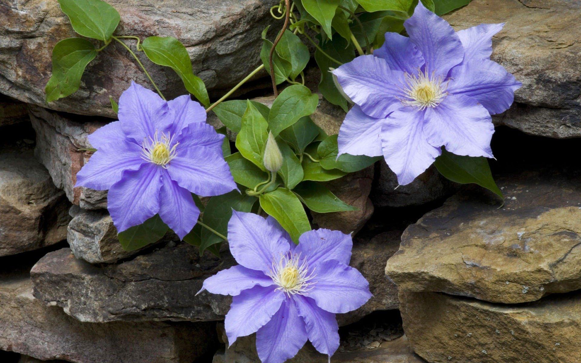 Обои Клематис, цветок. Разное foto 12