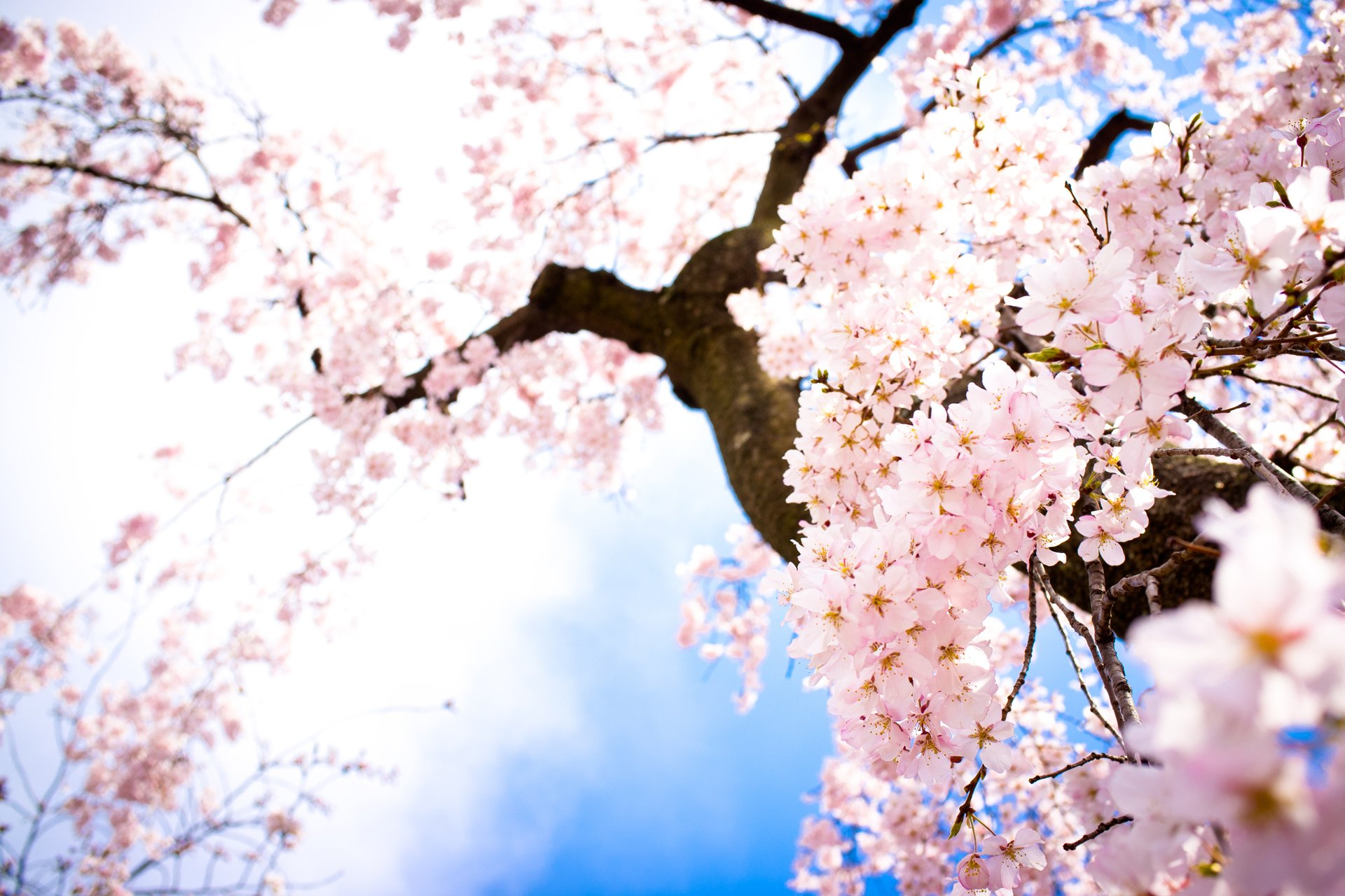 cherry blossom wallpaper - HD 1920×1280